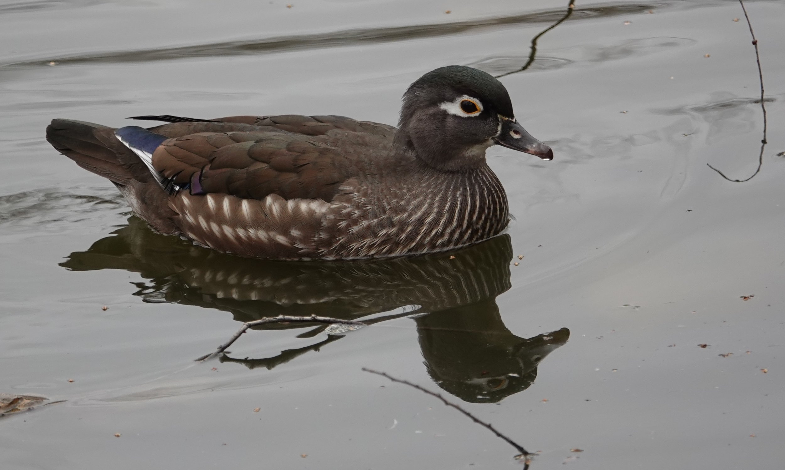 "The female wood duck makes a loud ""oo-eek"" call when startled."