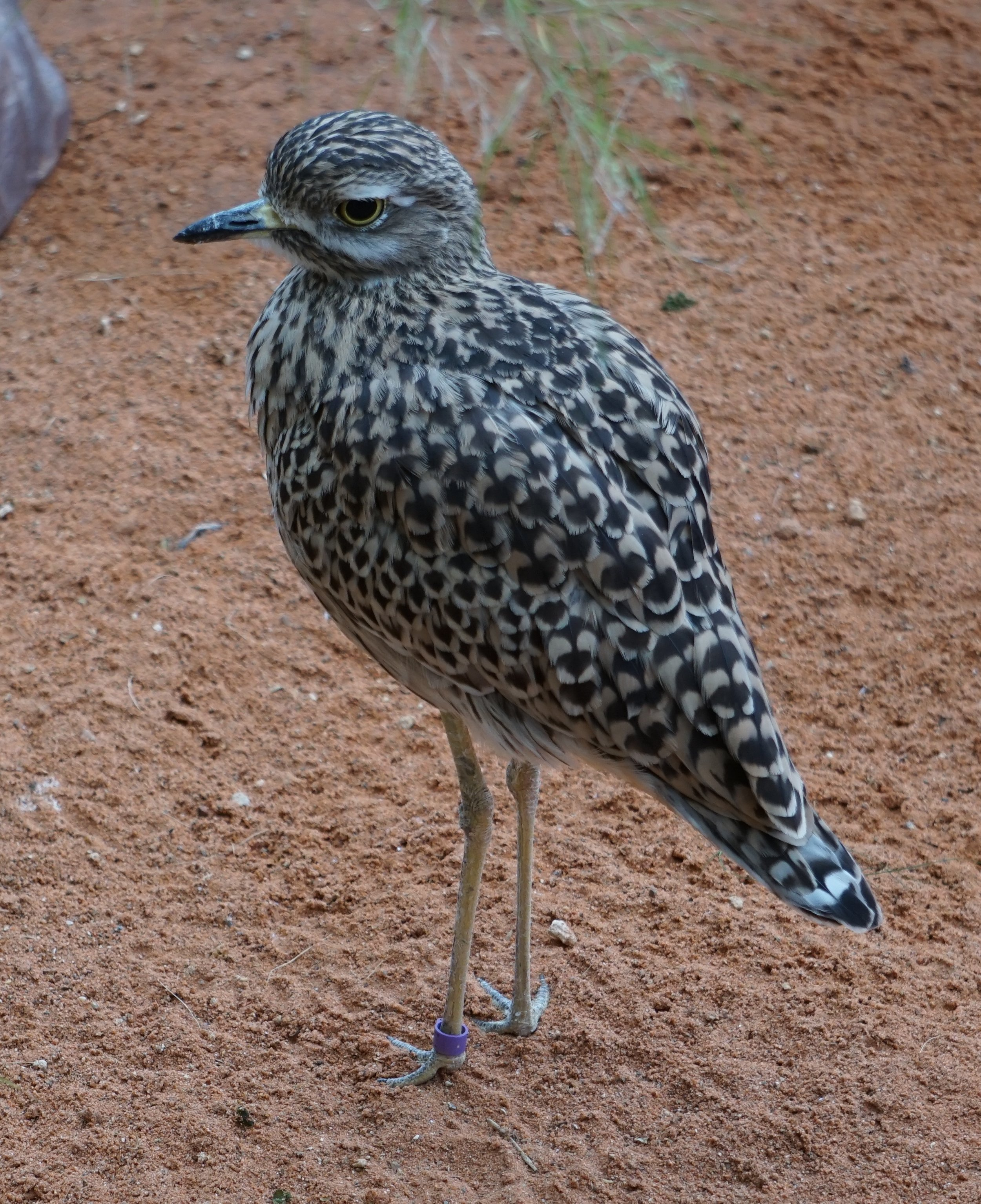 This African bird, a Cape Thick-knee, was seen at Henry Doorly Zoo in Omaha.