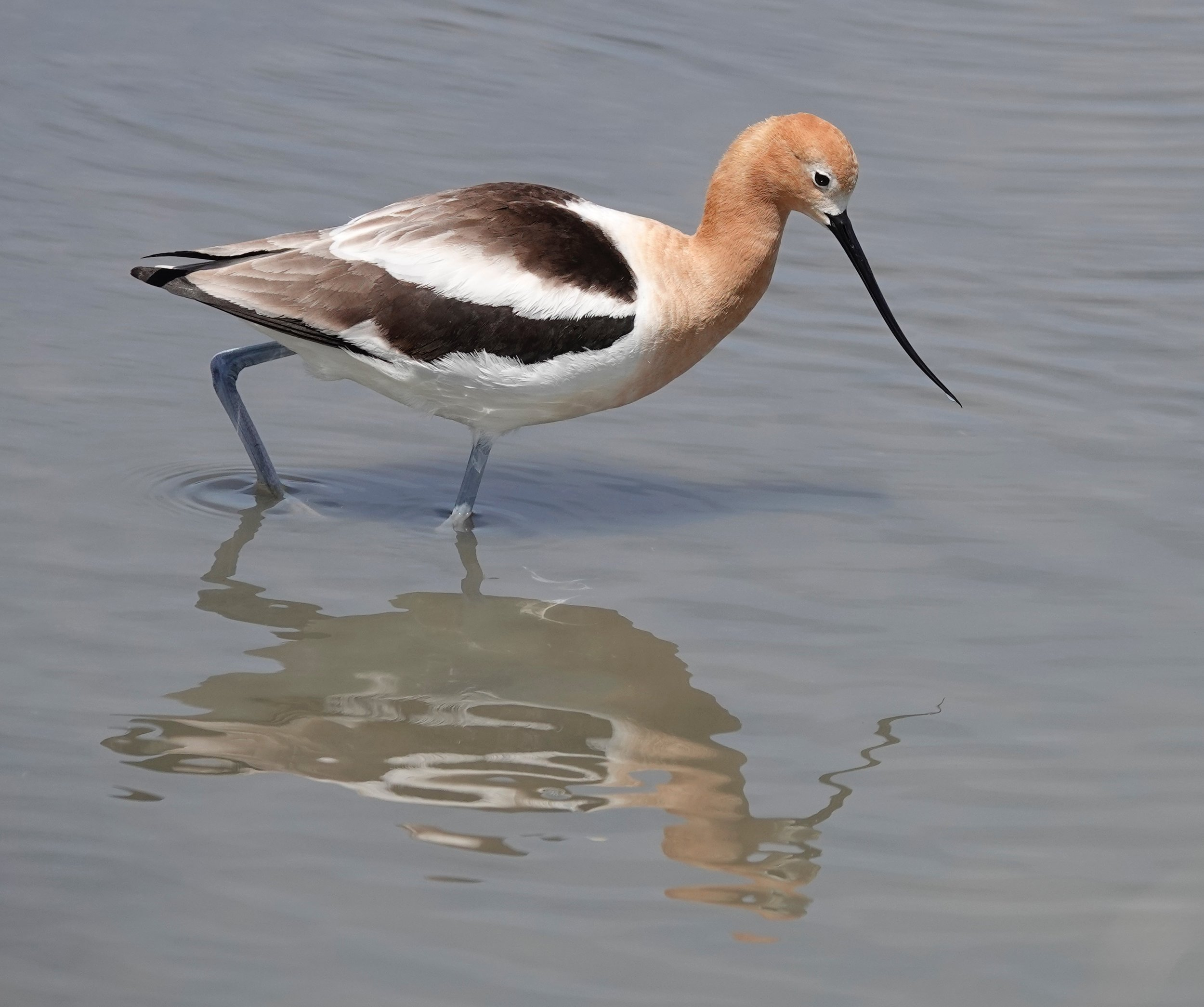 There is something about upward-curving bills like this one of an American Avocet that intrigues me greatly.