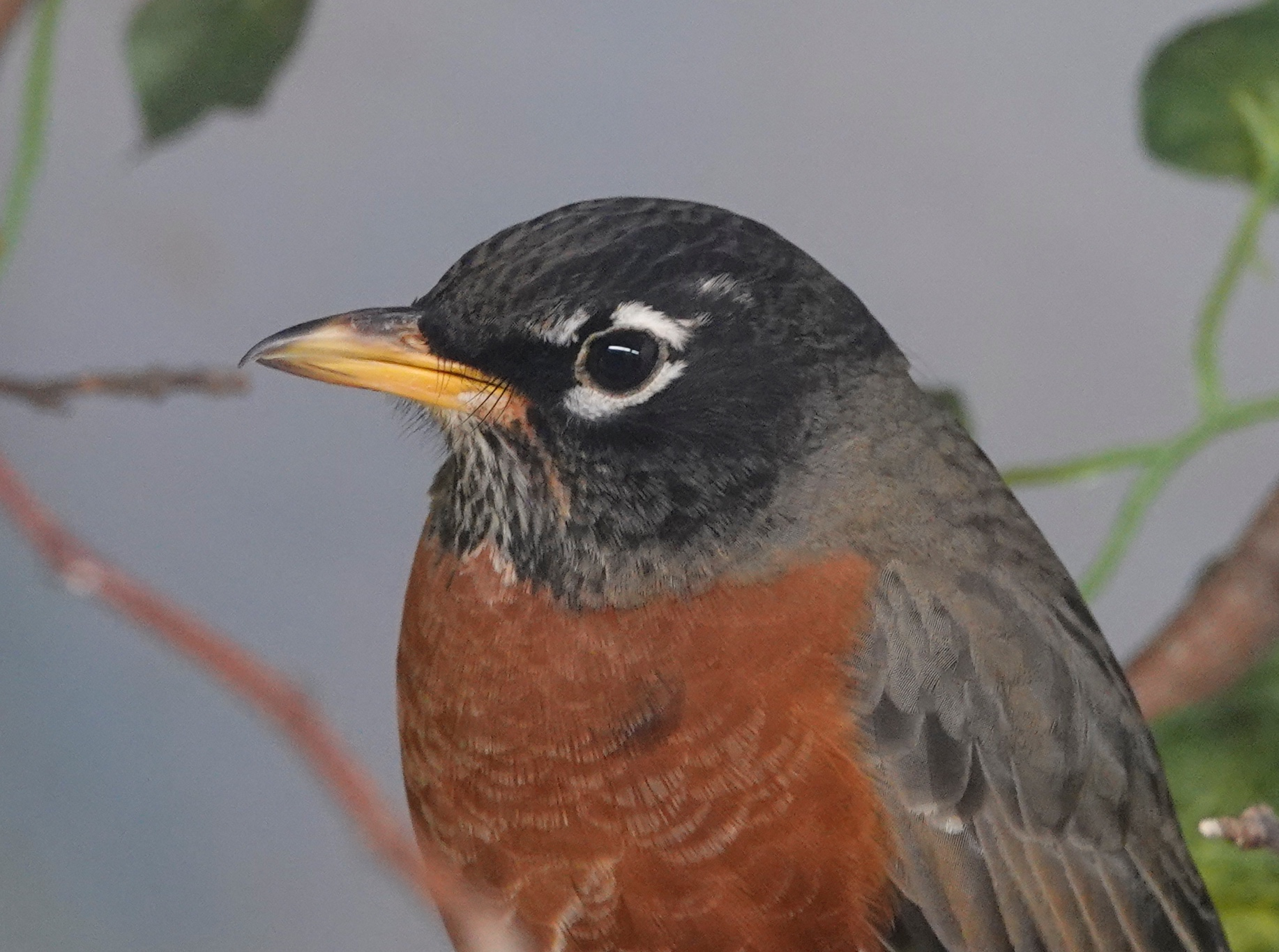 The American Robin is a handsome bird.