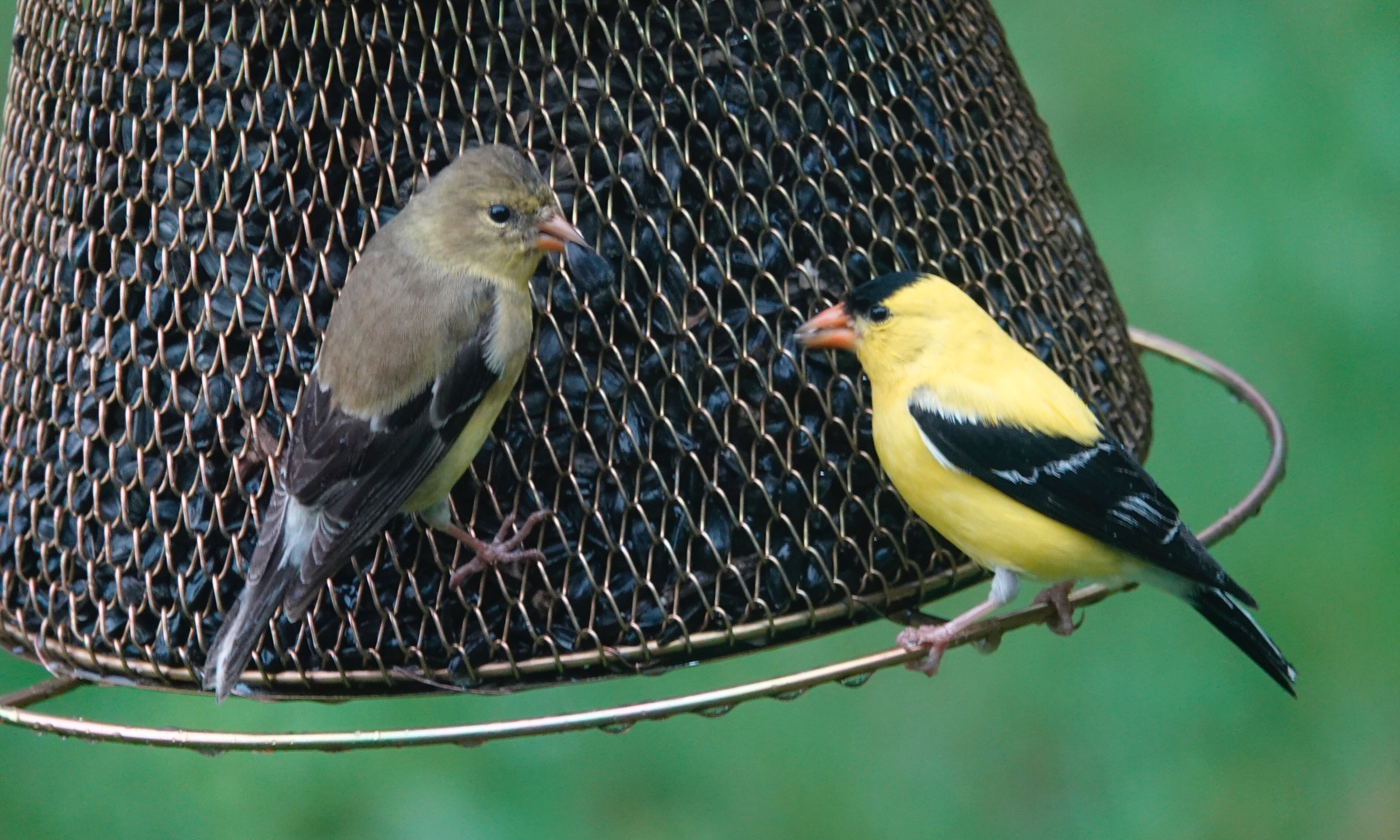 The goldfinches came for lunch, stayed for dinner.
