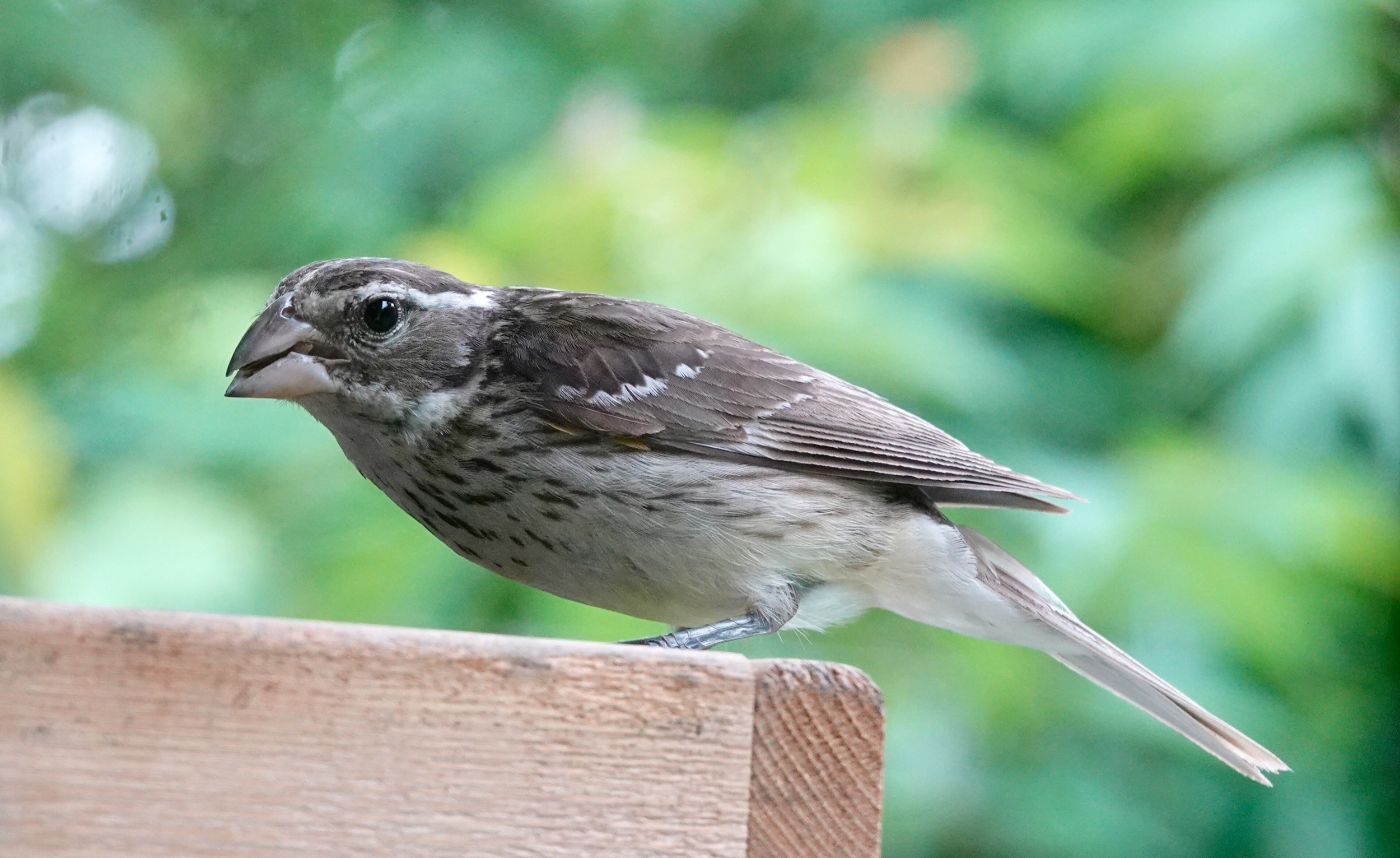 A female Rose-breasted Grosbeak doesn't worry about her big bill for lunch.