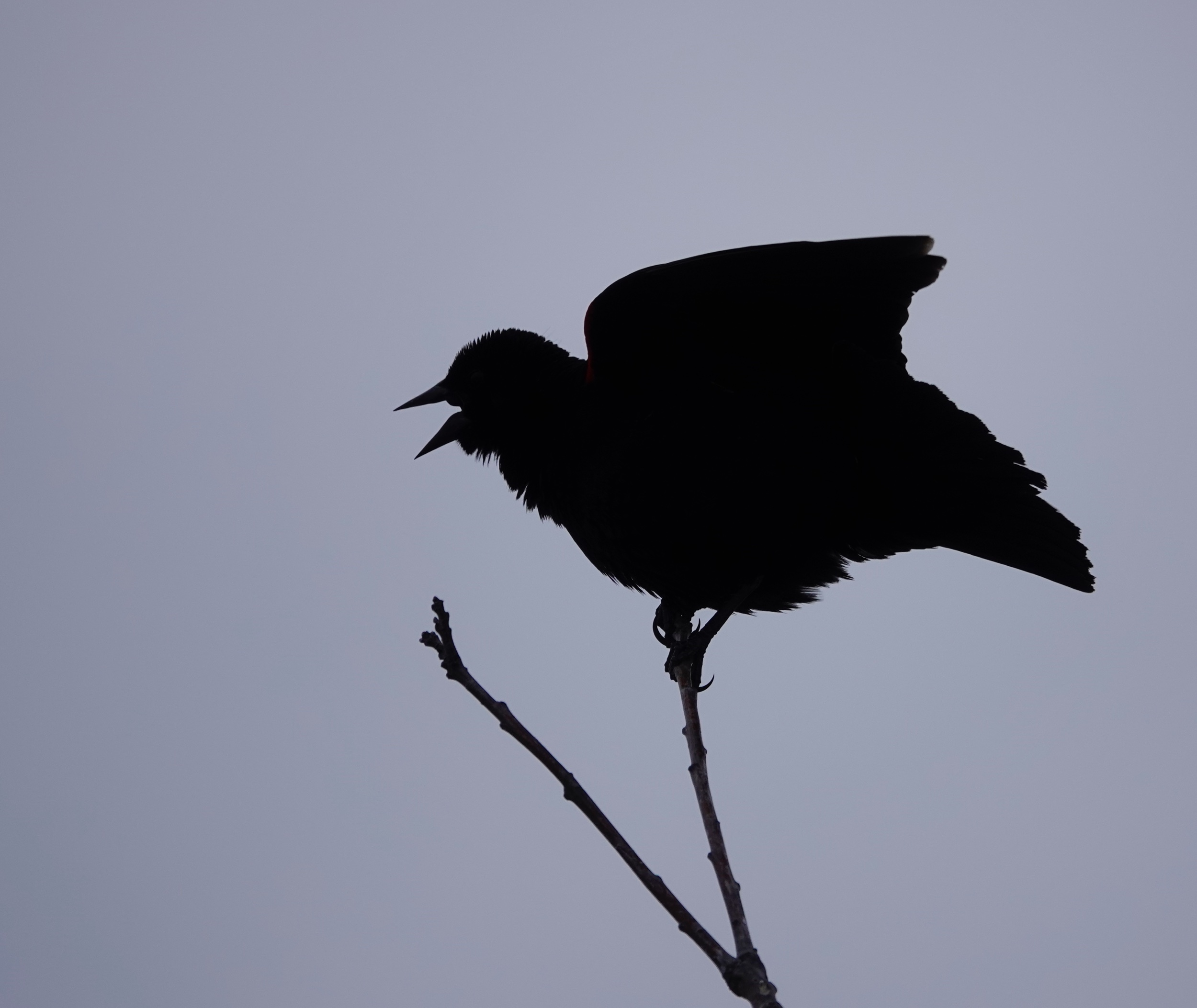 A Red-winged Blackbird singing overtime.
