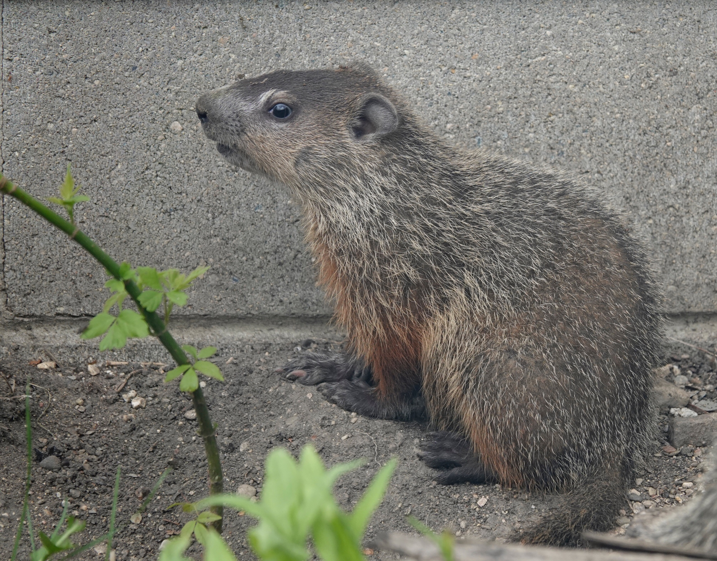 This youngster will soon learn that every groundhog has its day.