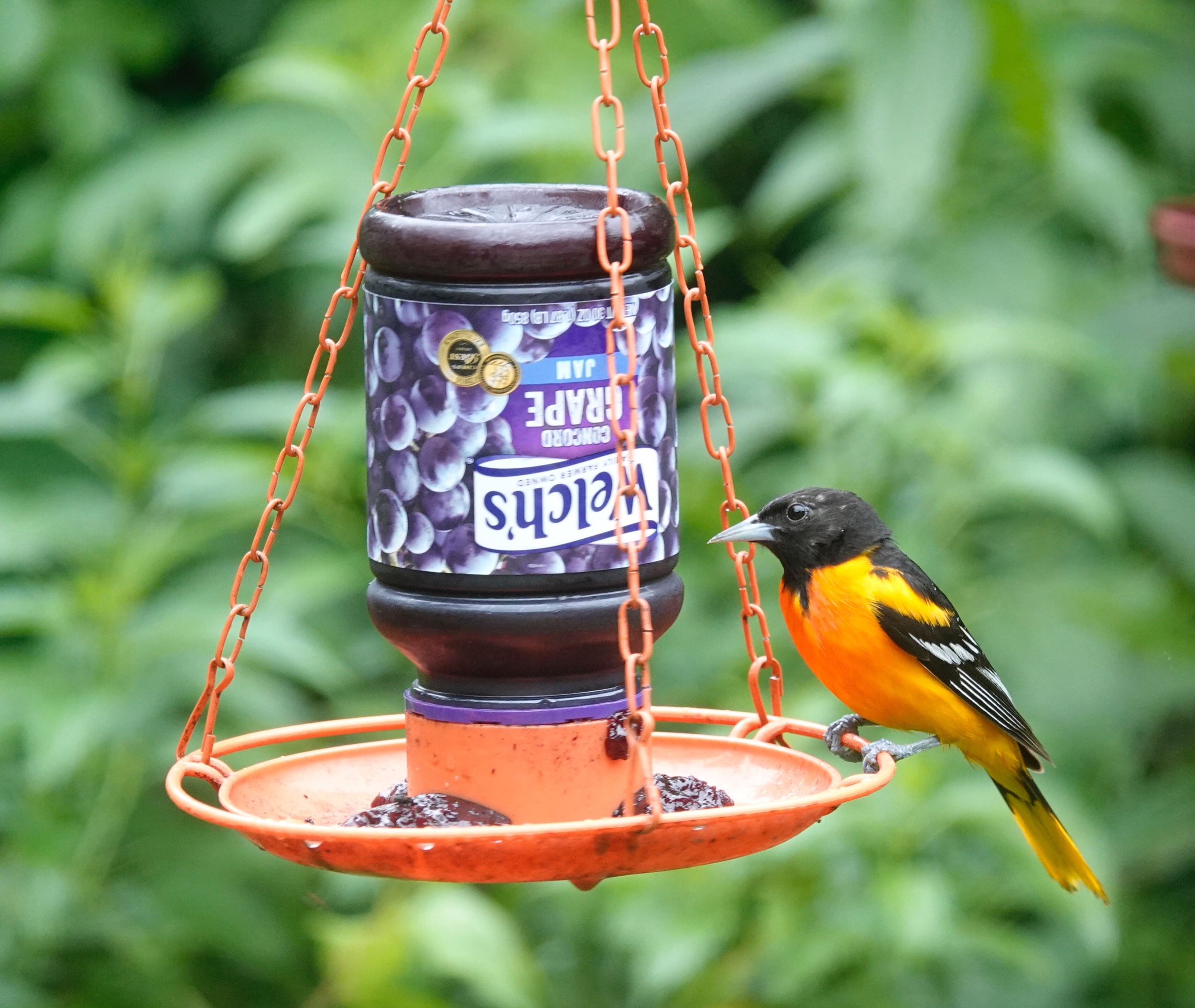 An oriole reads the label before eating grape jelly.