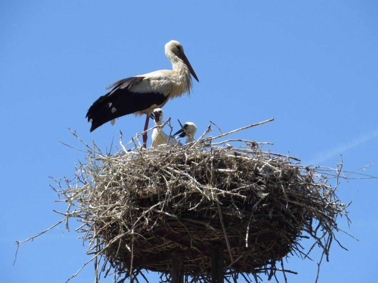 This white stork in Hungary delivered its own babies.