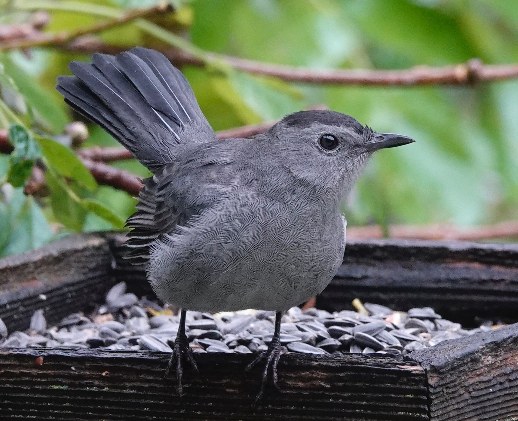 The catbird is having a good day. Therefore, so am I.