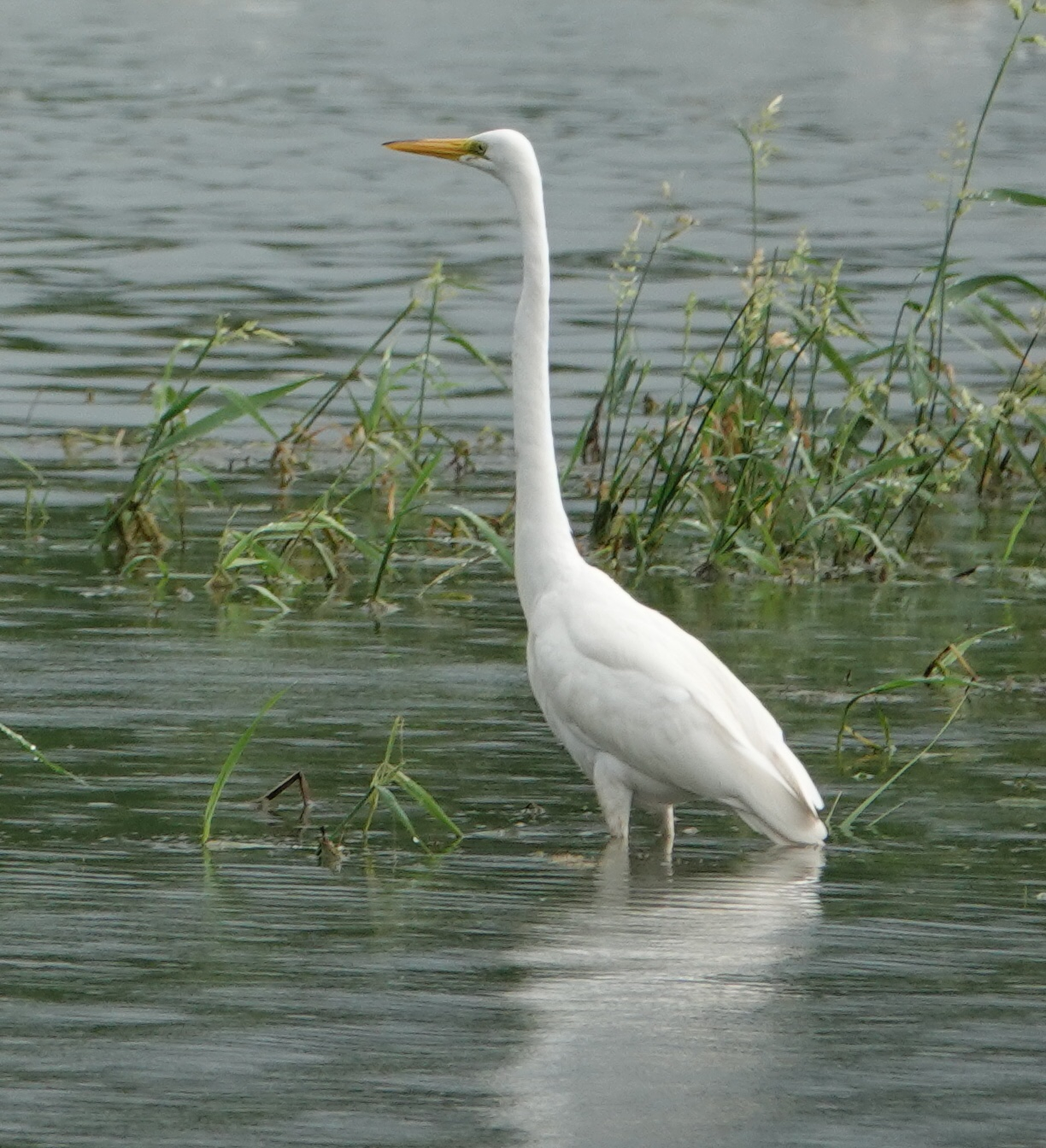 A great Great Egret.