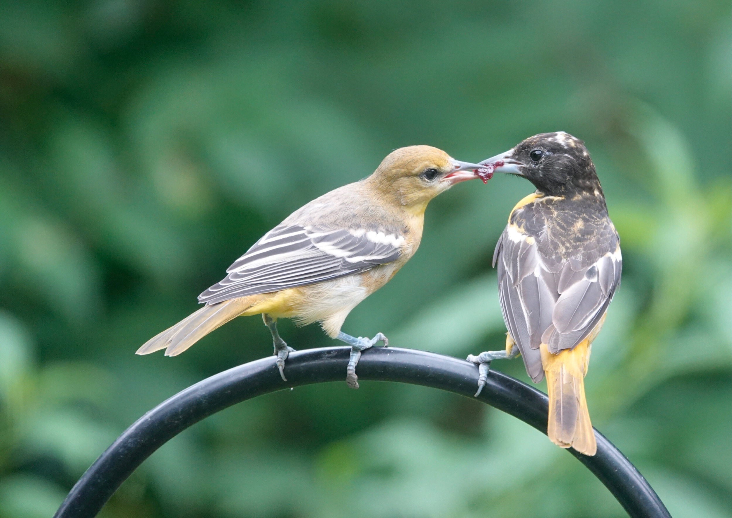 A young Baltimore Oriole discovers a jam mine.