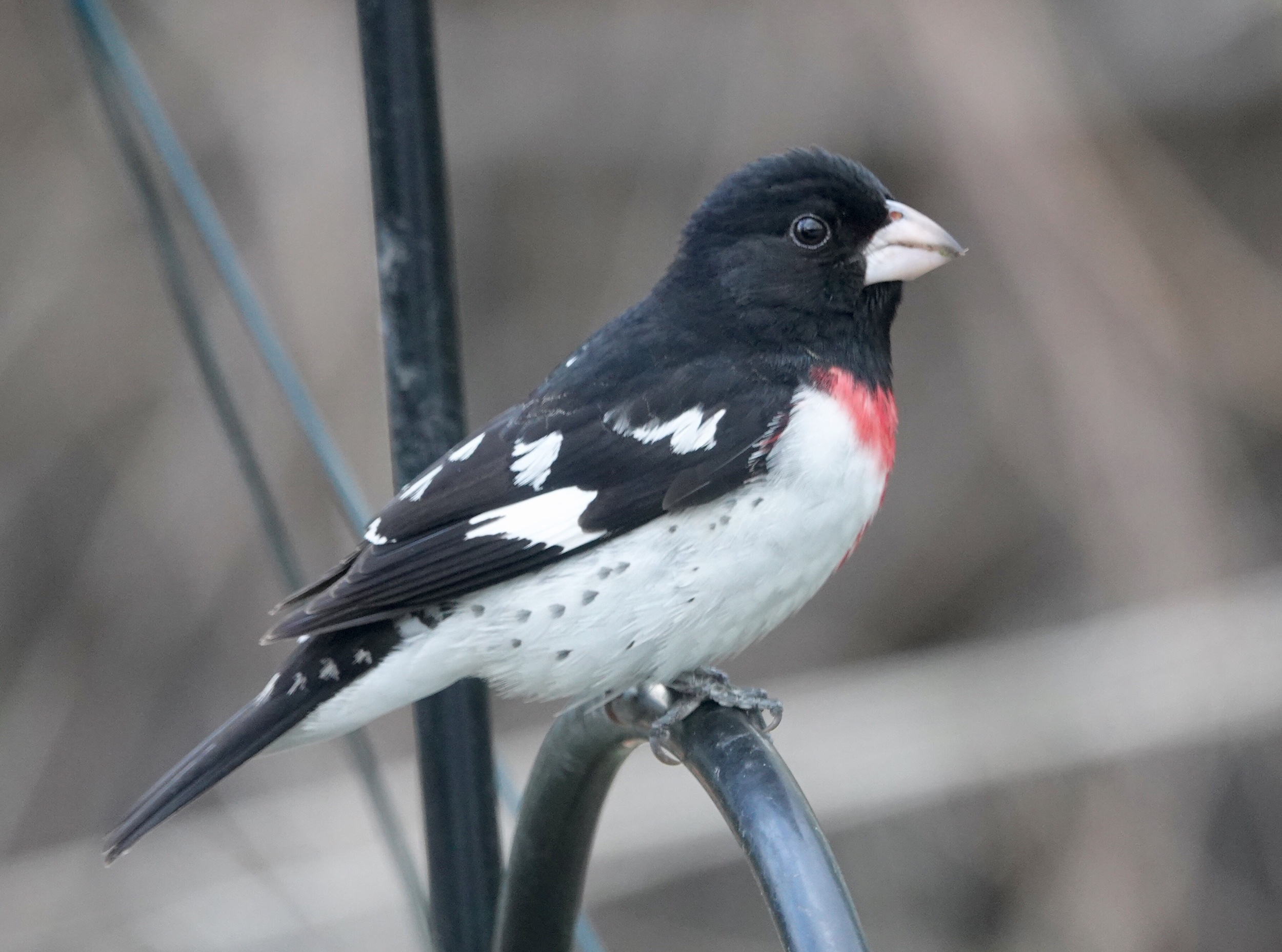 A Rose-breasted Grosbeak male has the magic to turn a normal person into a birder.