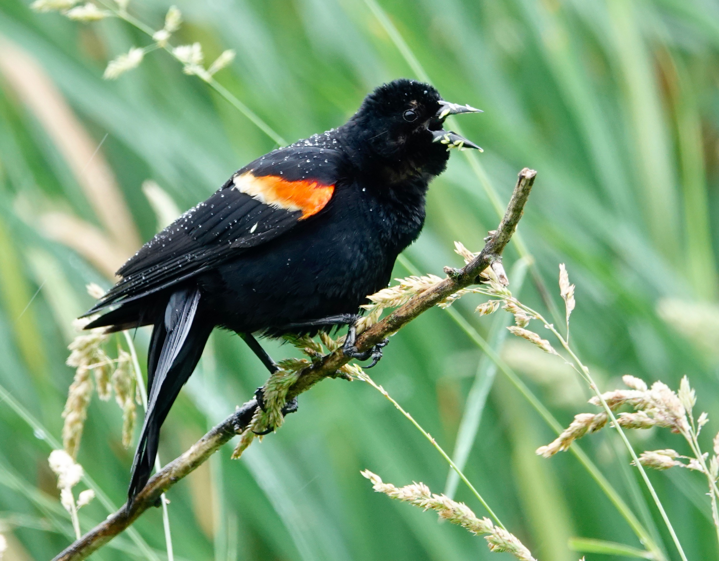 A red-winged blackbird is a feisty fellow, more than willing to attack a larger bird. This one was taking a lunch break from being feisty. Al Batt/Albert Lea Tribune