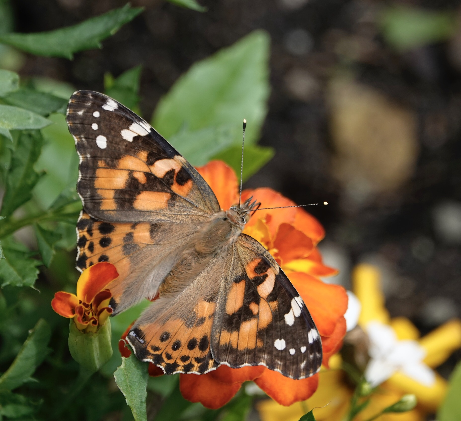 The painted lady varies in abundance from year to year in Minnesota. The more the merrier.