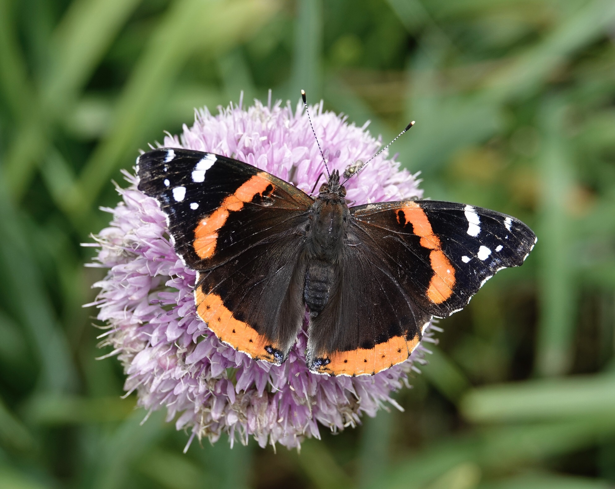 Male red admiral butterflies are said to defend territories in sunny edges and clearings.