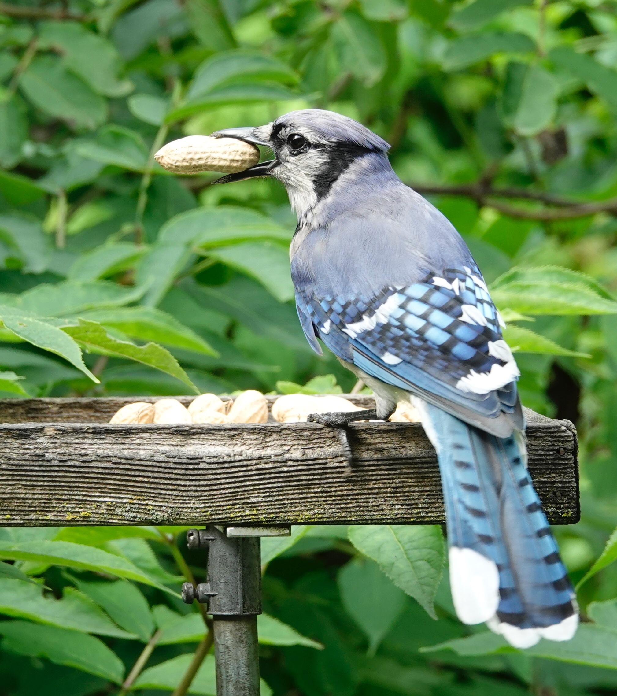 Blue Jays love goober peas.