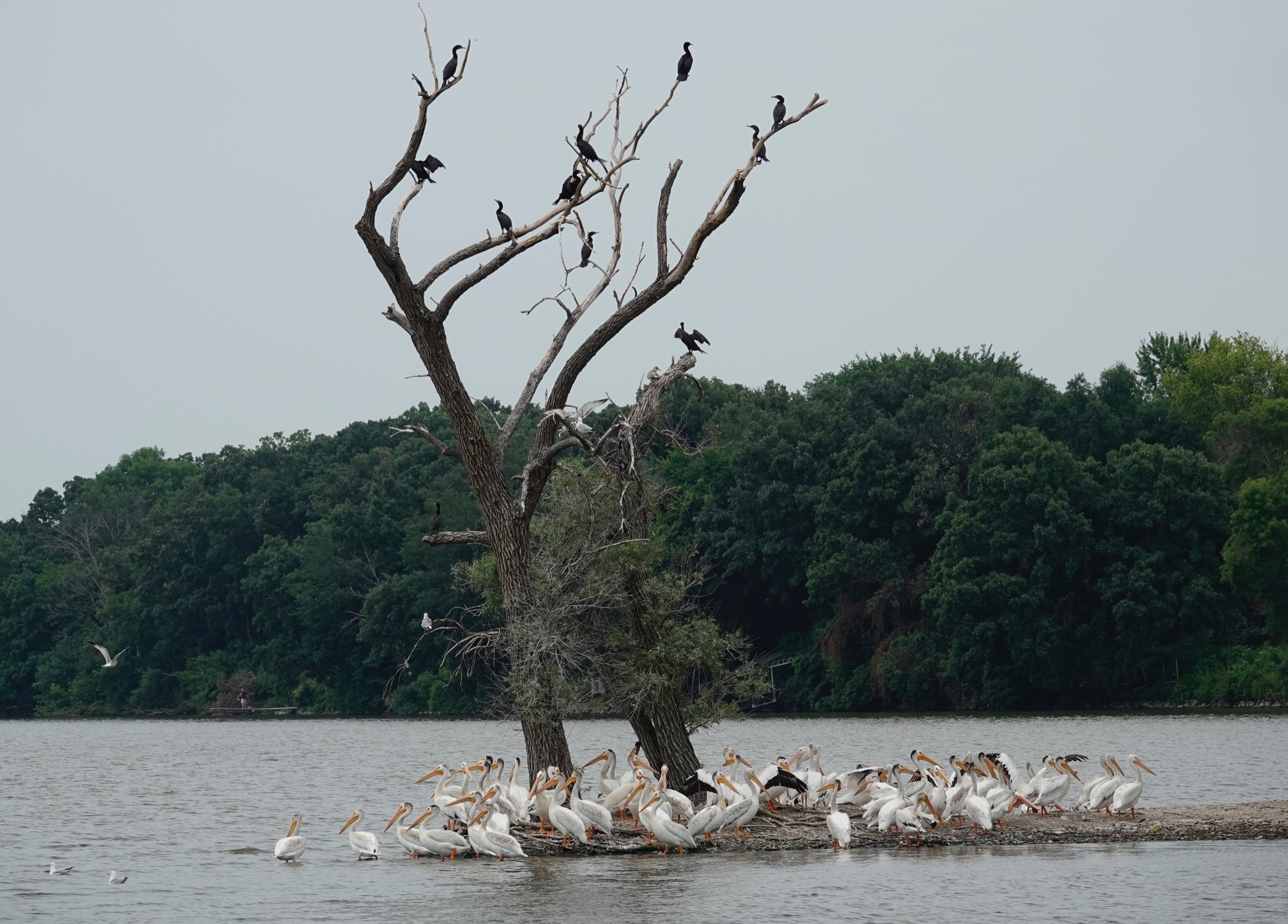 Some of these American White Pelicans have developed black feathers on the back of their heads.