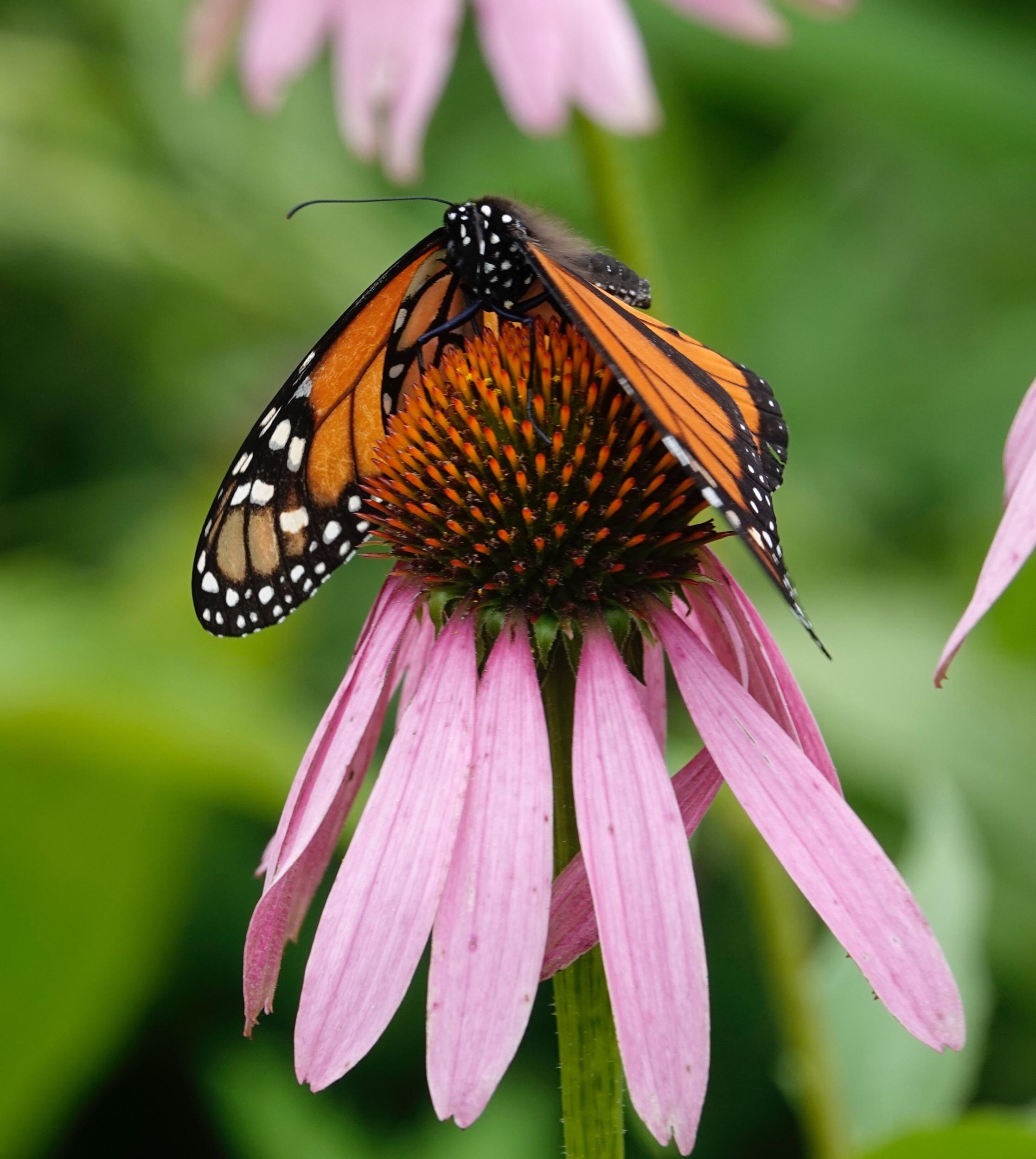 A monarch butterfly hangs on in the wind.
