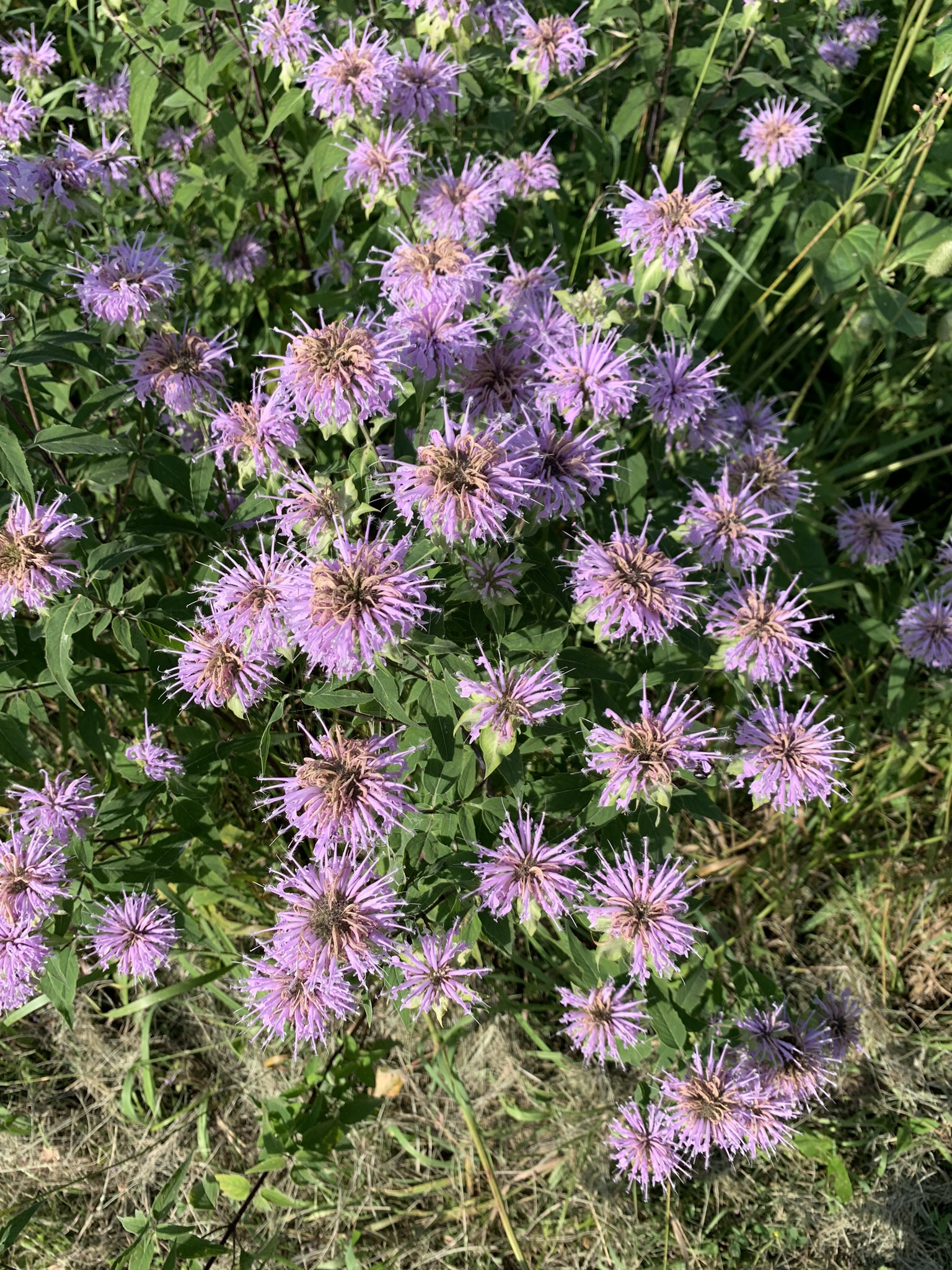 A bouquet of wild bergamot. It smells like Earl Grey tea, but I don't hold that against it.