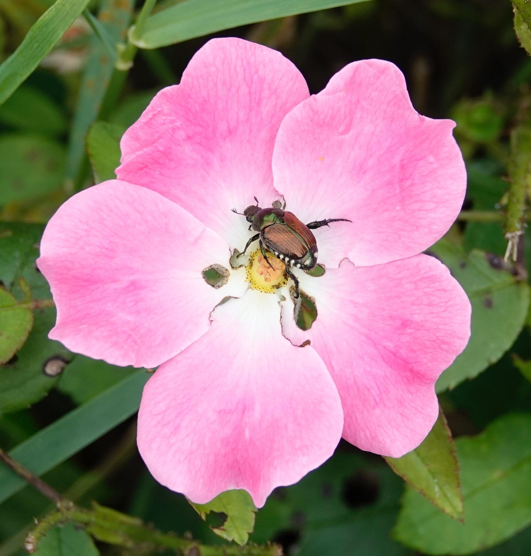 It can be difficult to find a lone Japenese beetle. Al Batt/Albert Lea Tribune