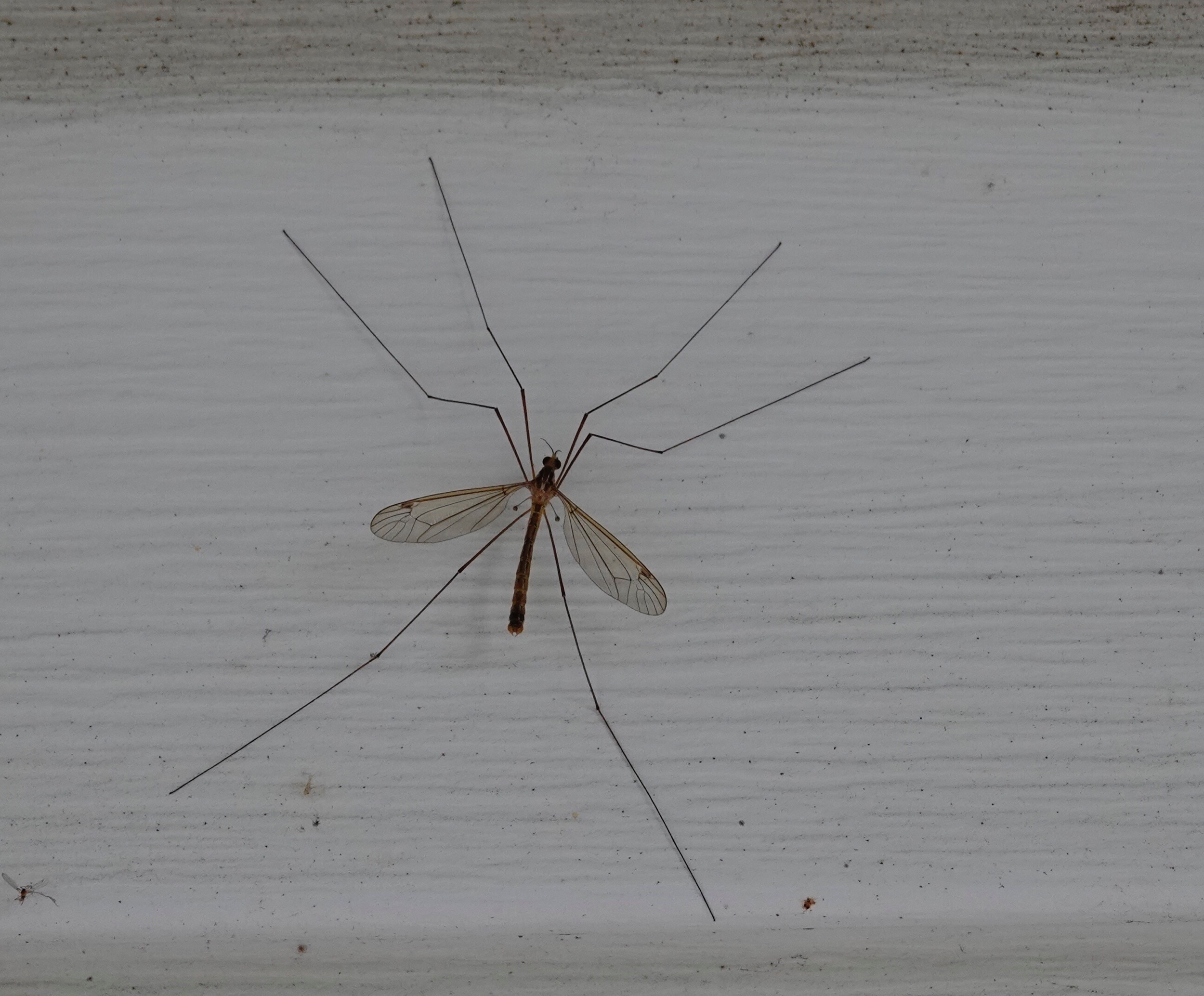 It may look like a giant mosquito, but it's a crane fly. It doesn't bite.