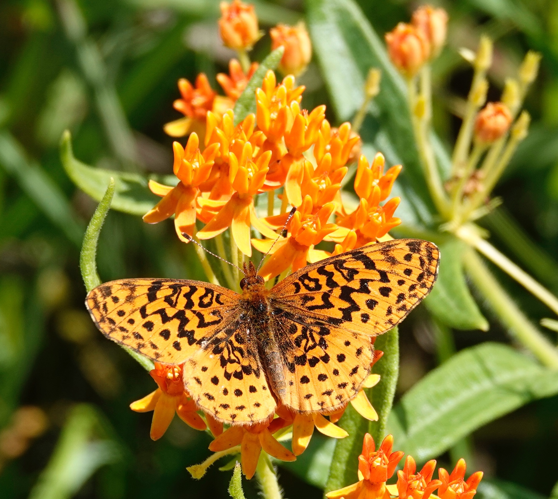 A meadow fritillary on butterfly weed.