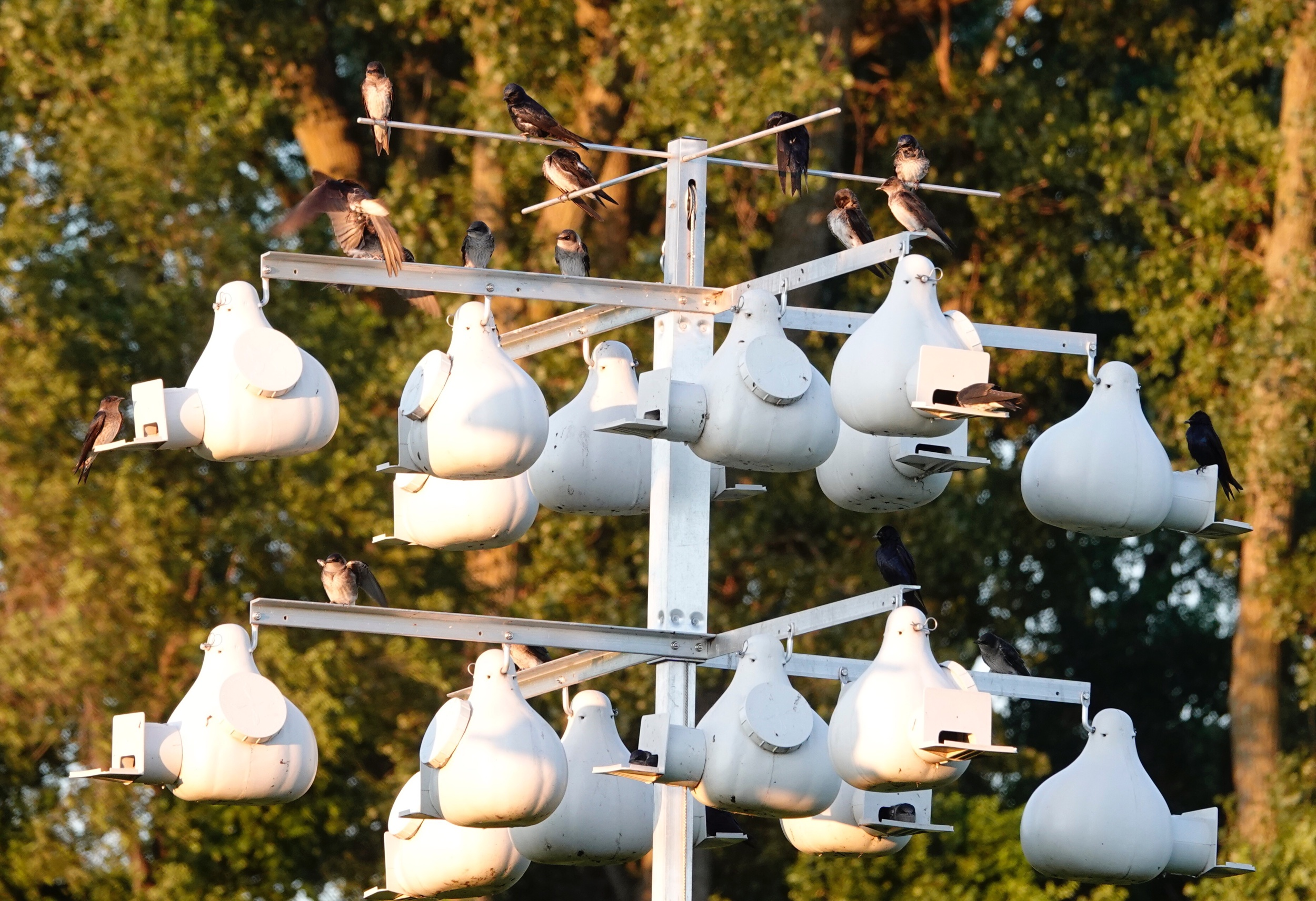Purple Martins at their summer homes.