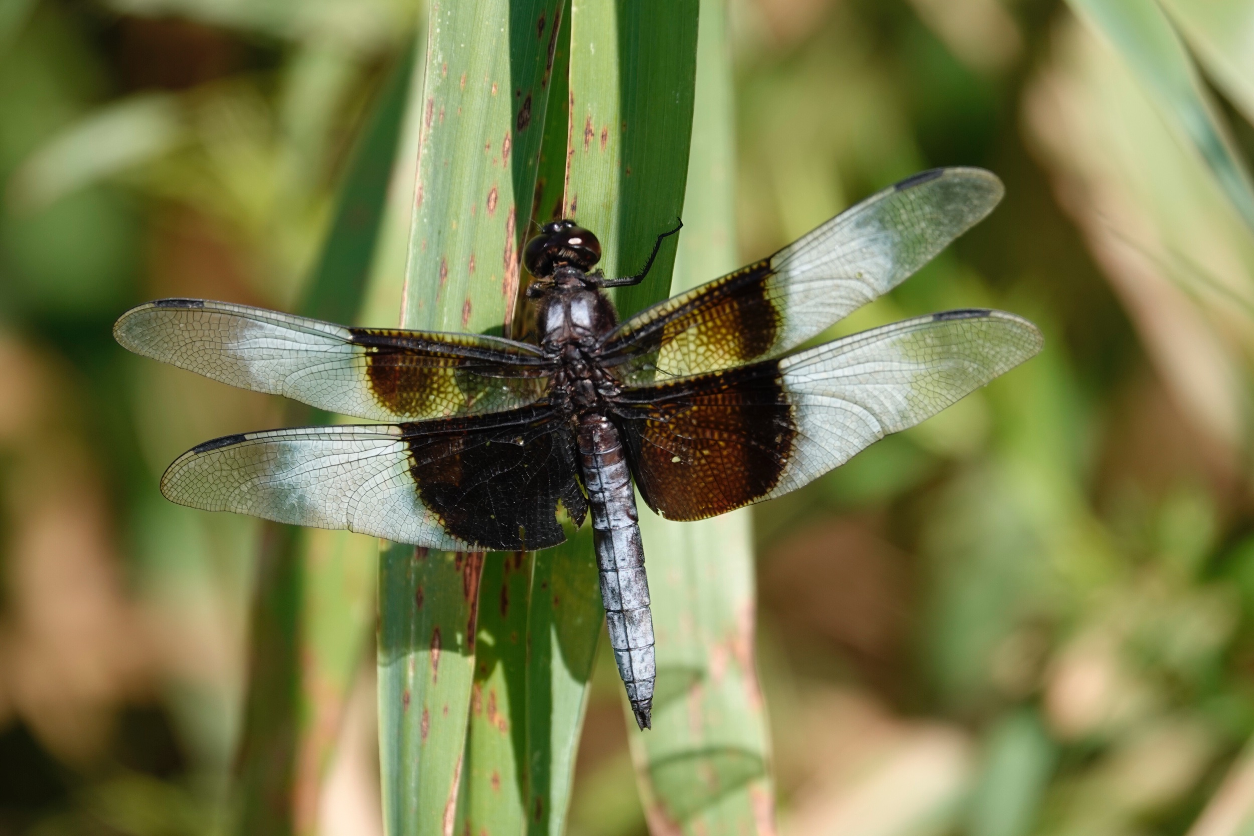 The species name of the Widow Skimmer dragonfly means sorrowful as its wings seem to be draped in mourning crepe.