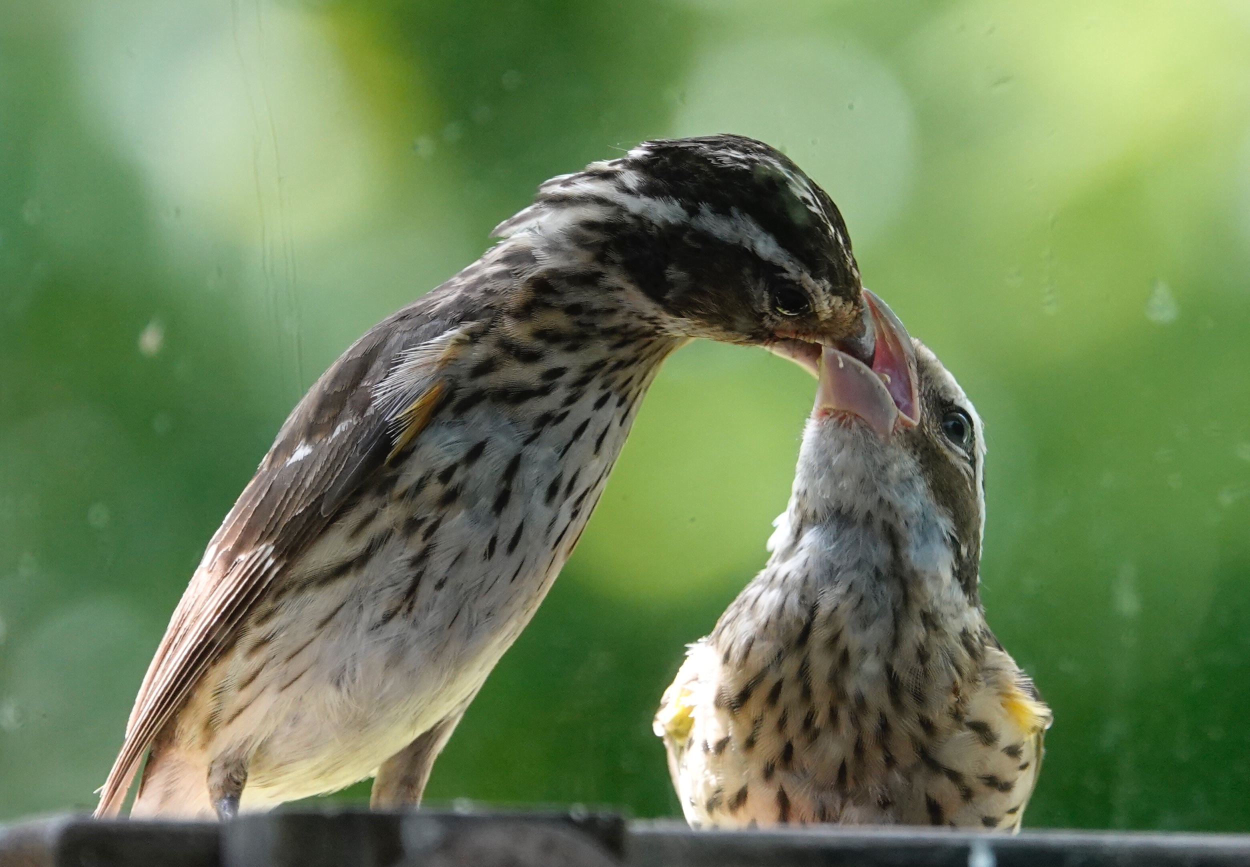 A mother Rose-breasted Grosbeak feeds her fledgling.