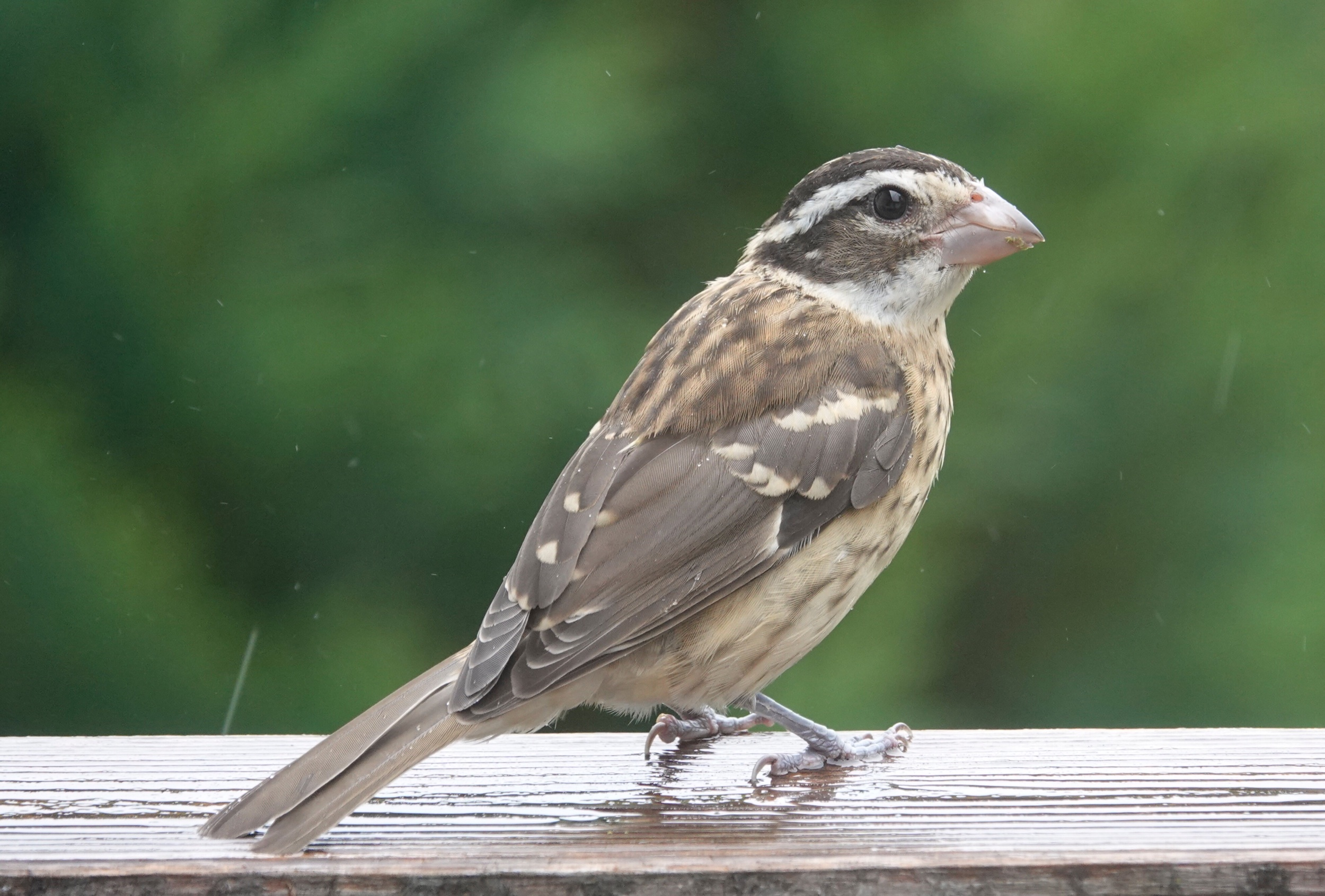 One of my favorites, a Rose-breasted Grosbeak