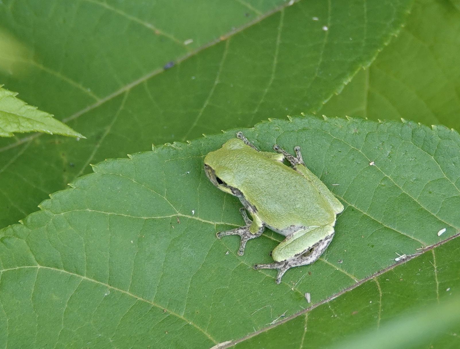 A gray tree frog.