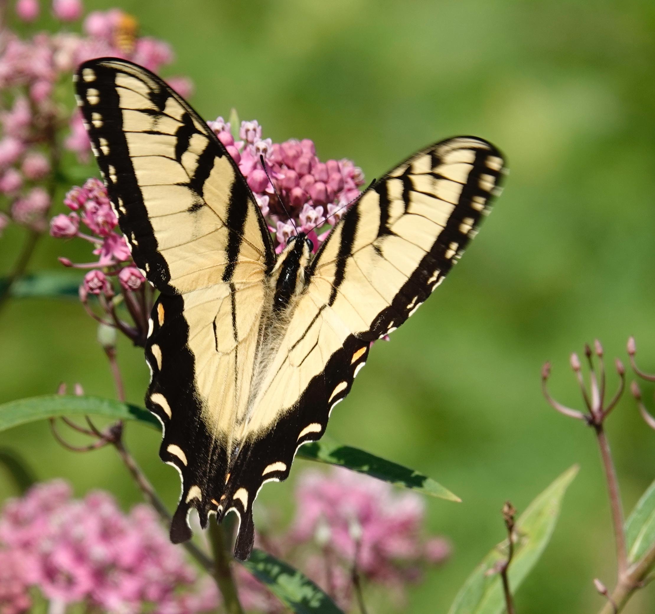 Eastern Tiger Swallowtail.