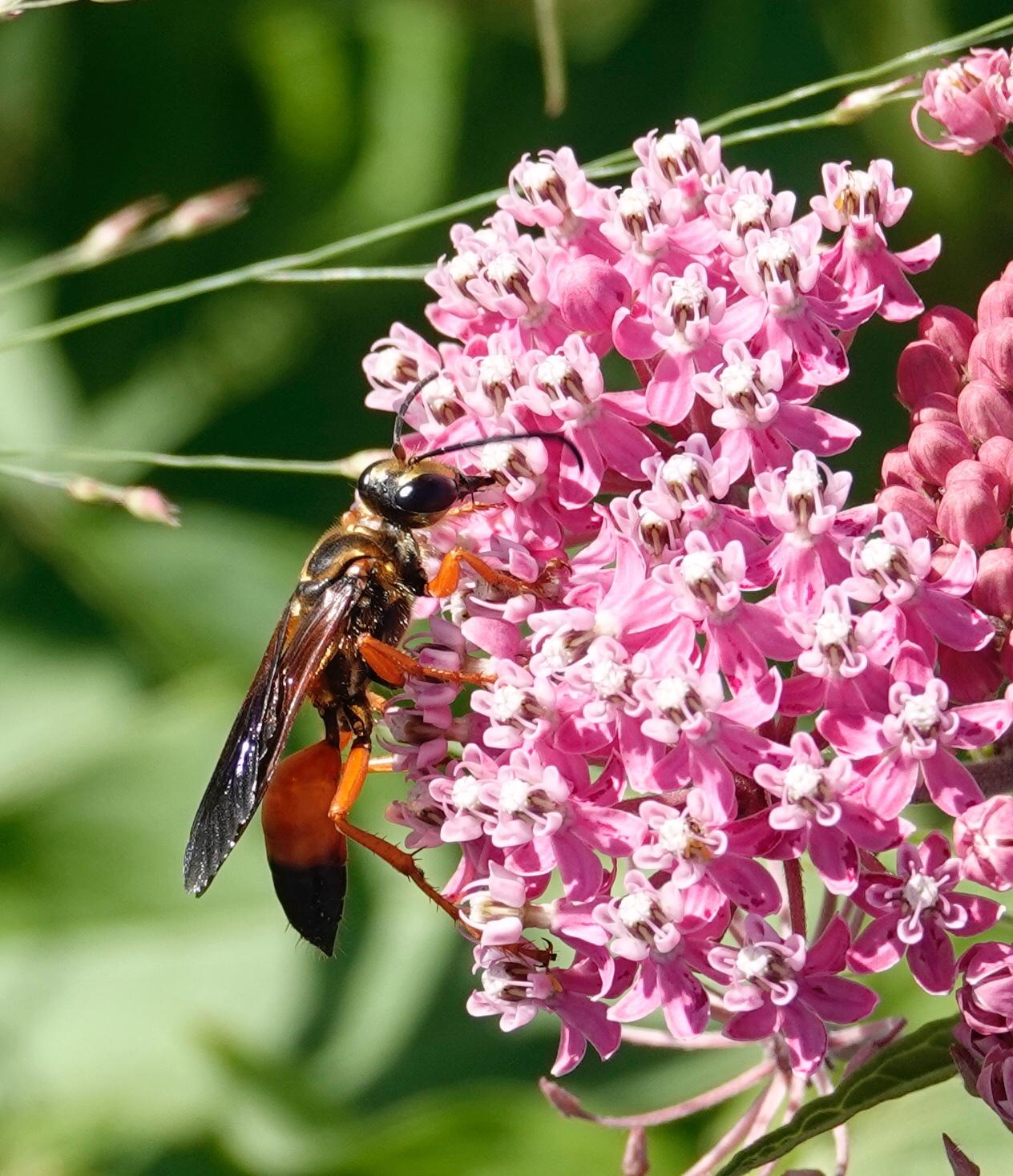 The great golden digger wasp preys upon grasshoppers, crickets and katydids. Al Batt/Albert Lea Tribune