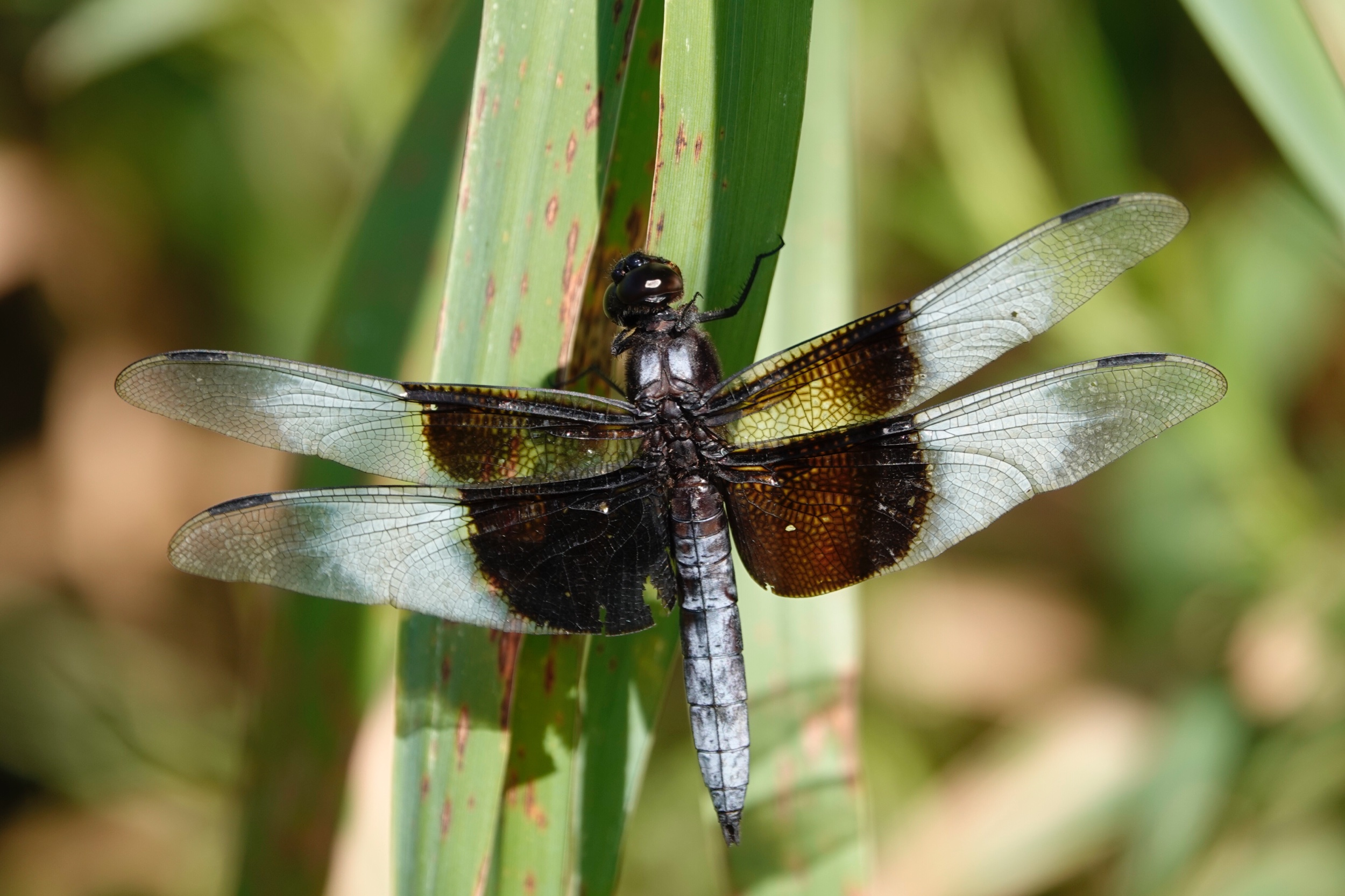 The species name of the widow skimmer dragonfly means sorrowful as its wings seem to be draped in mourning crepe. Photo by Al Batt