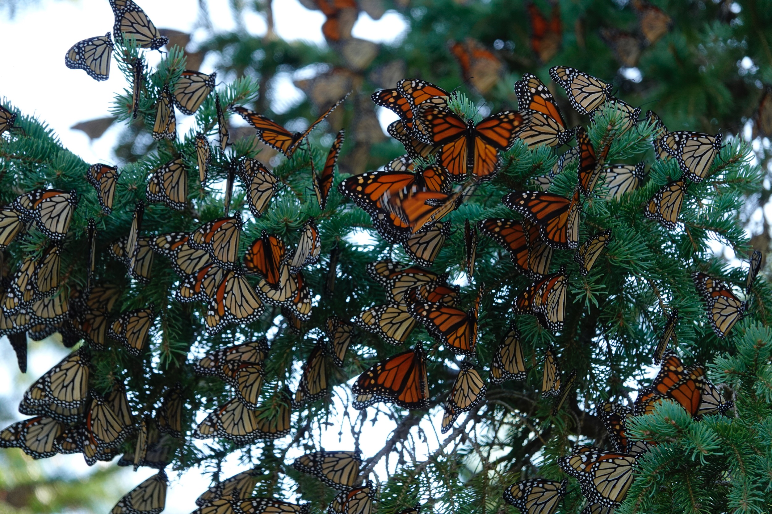 I feel blessed to see a roost of monarch butterflies.