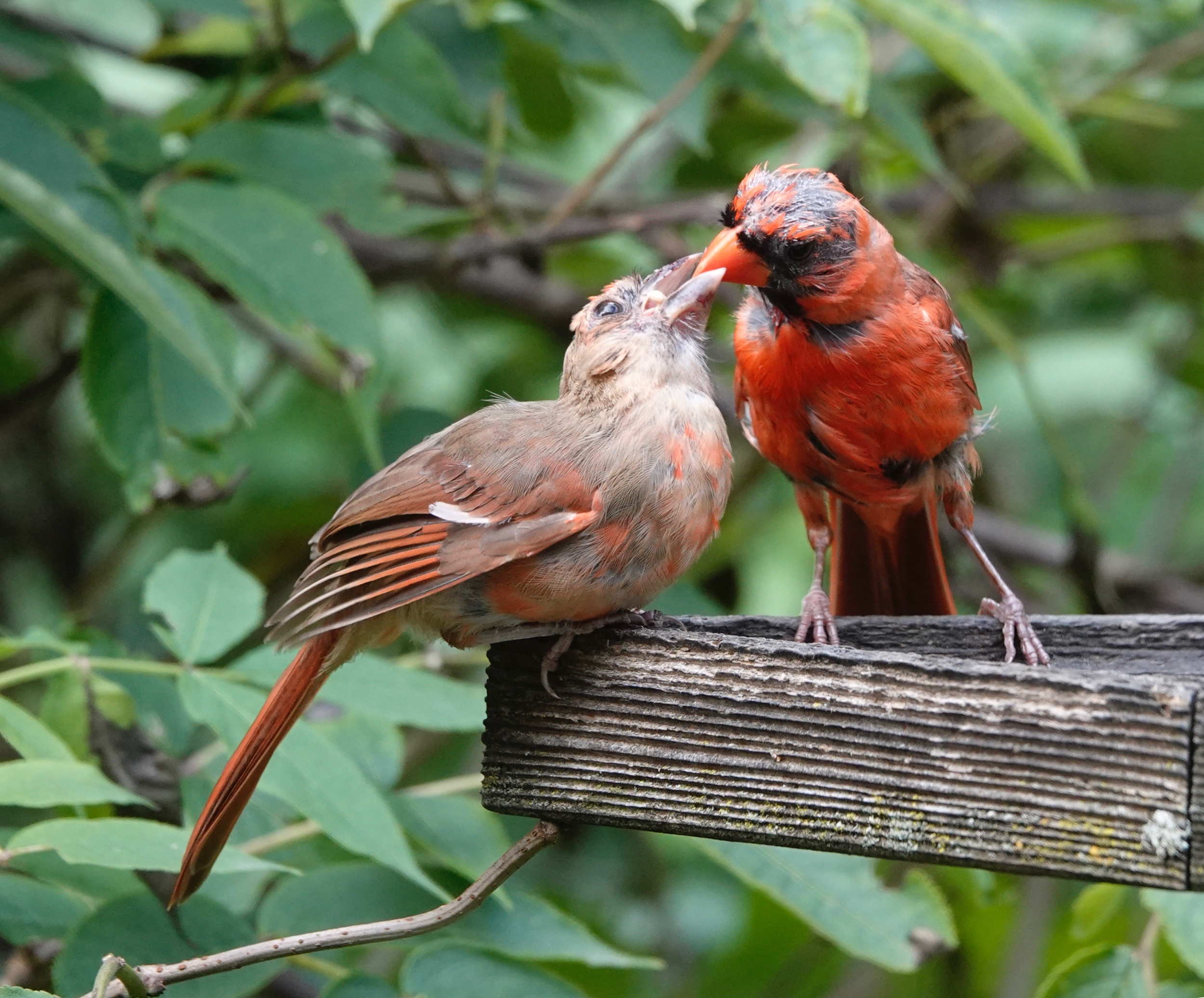 AL BATT/BLUFF COUNTRY READER An adult northern cardinal has a red-orange bill. A juvenile has a gray to black bill.