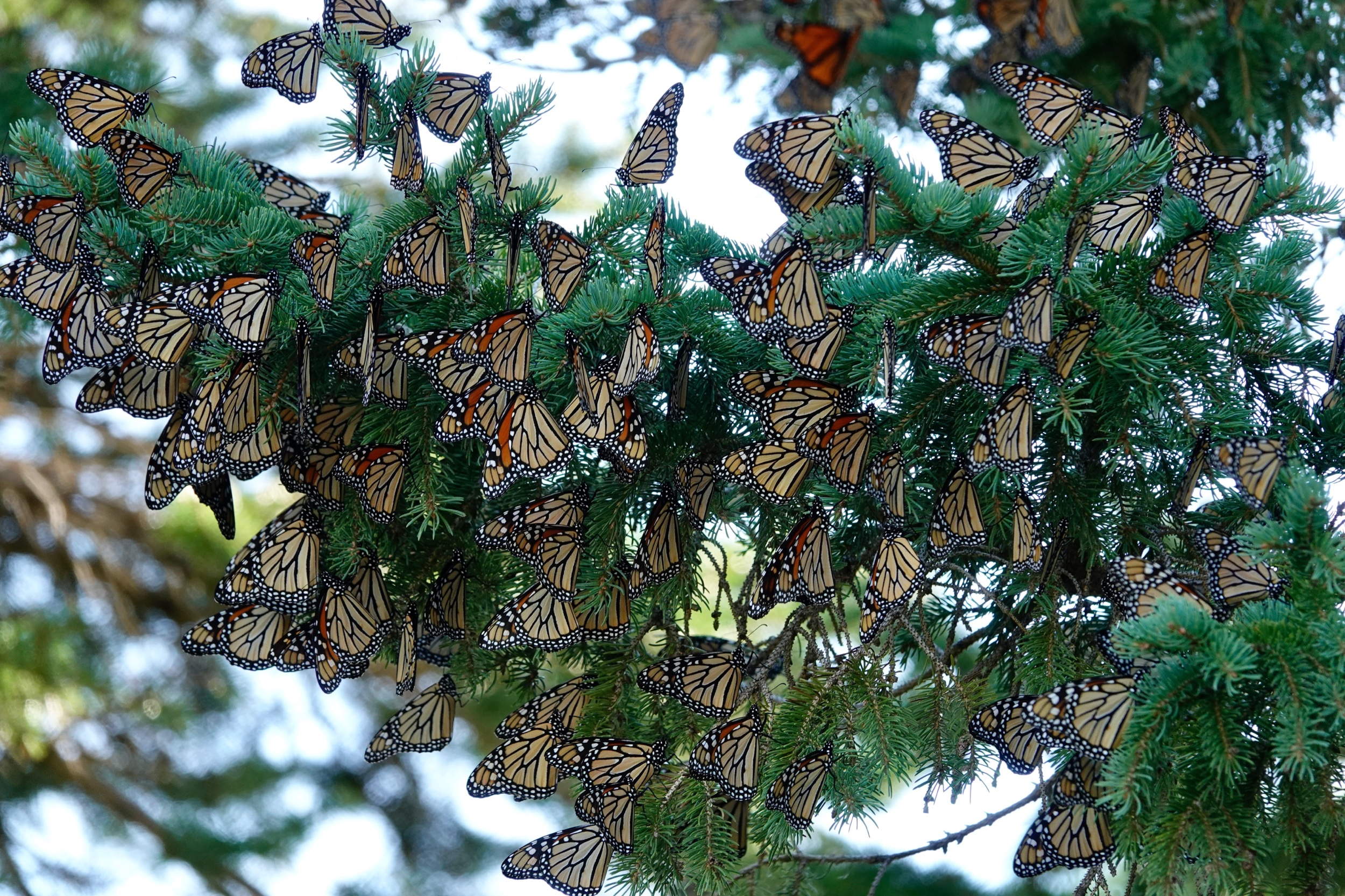 AL BATT/BLUFF COUNTRY READER A tip of the hat to Dustin Demmer for pointing out this monarch butterfly roost.