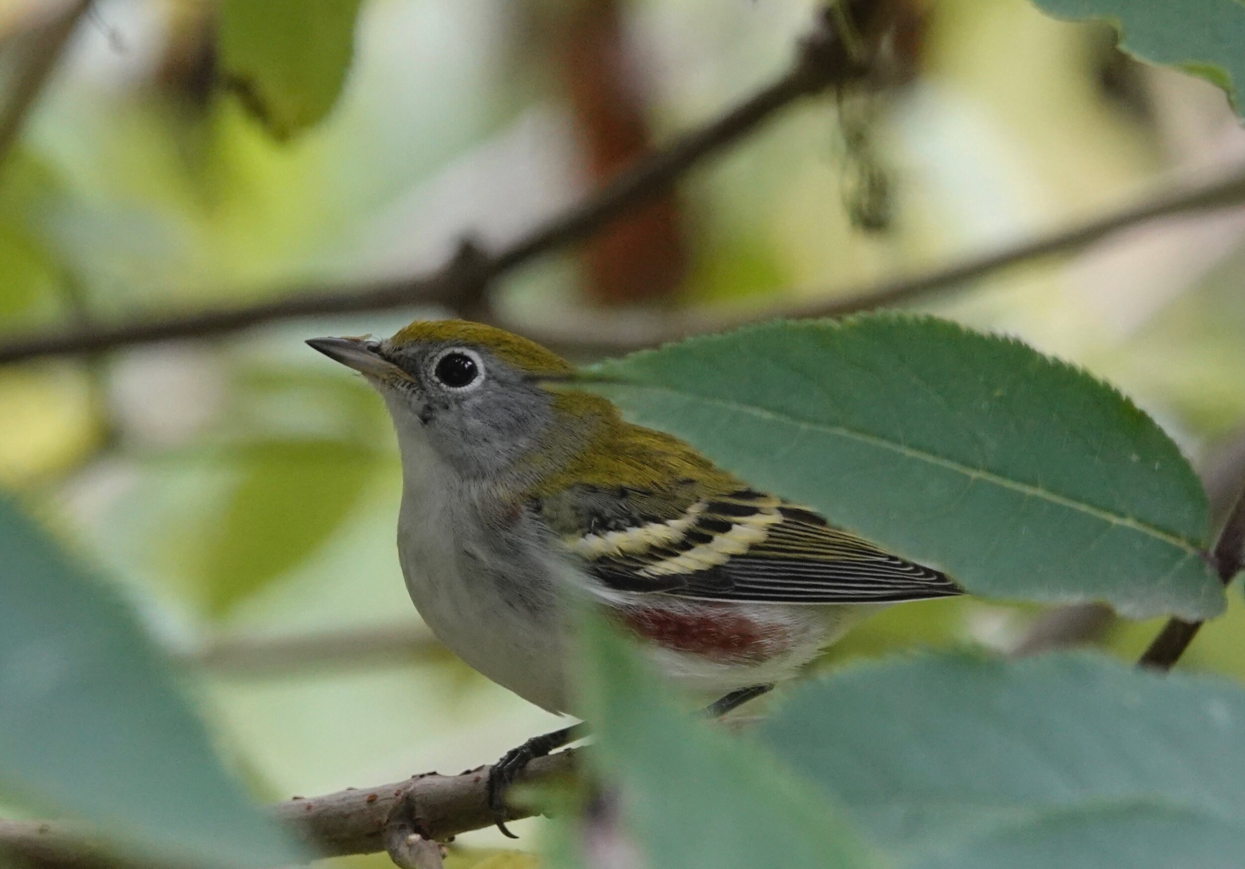 Have you ever had the feeling you're being watched by a Chestnut-sided Warbler? I have.