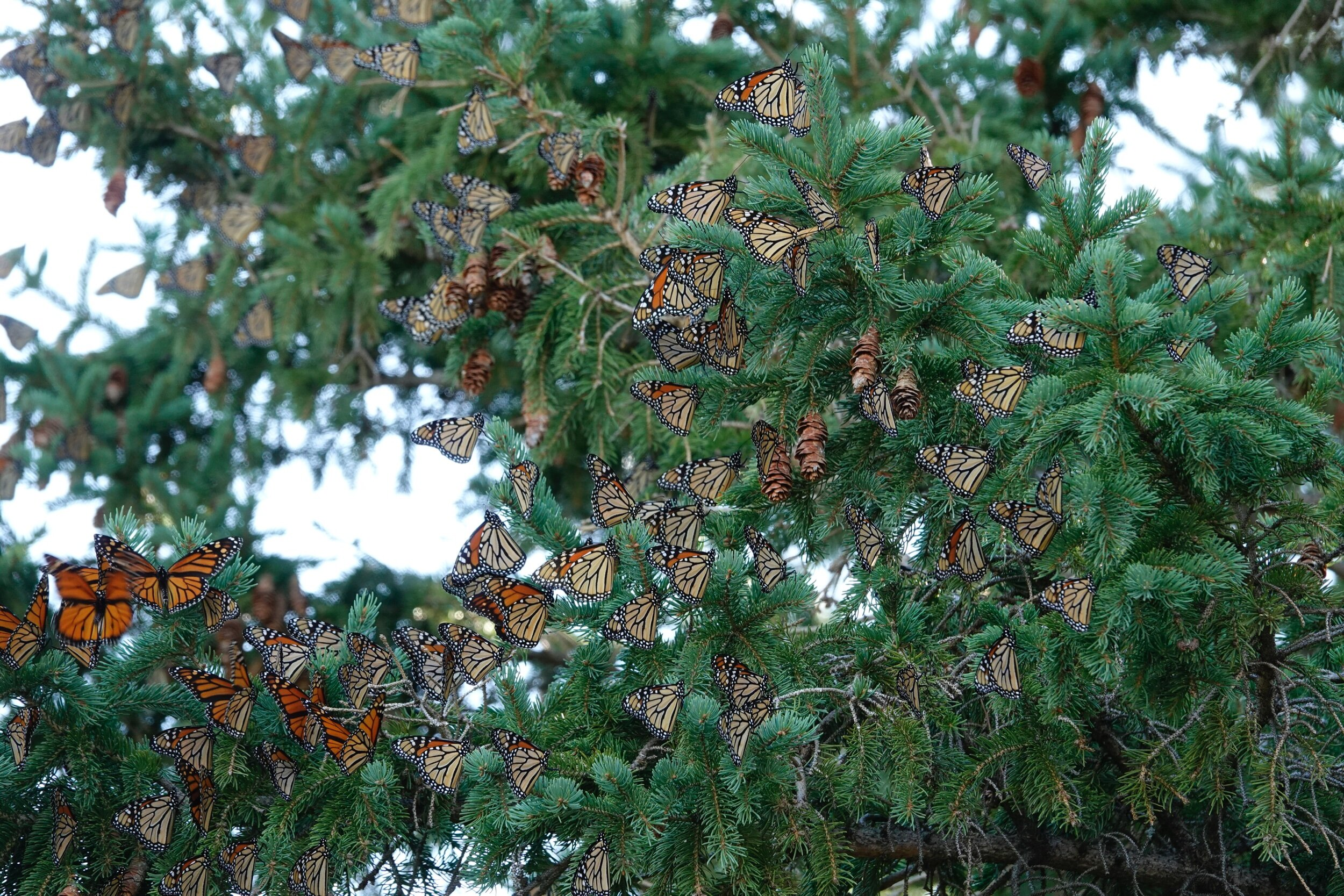 It takes only one monarch butterfly to make a roost.