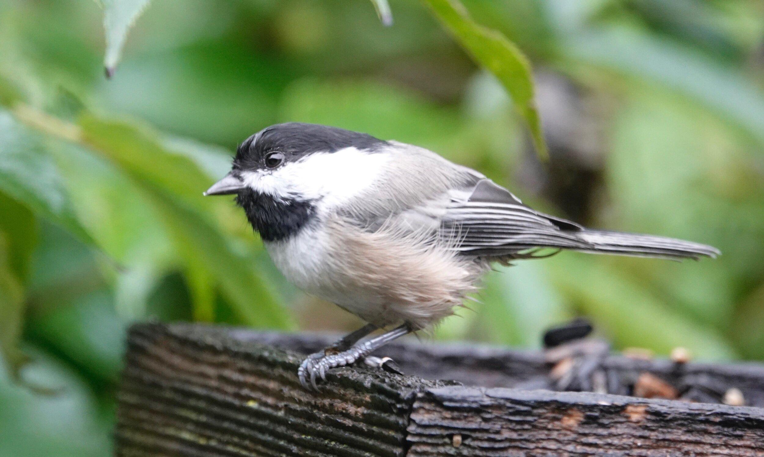 It's another rainy day chickadee.