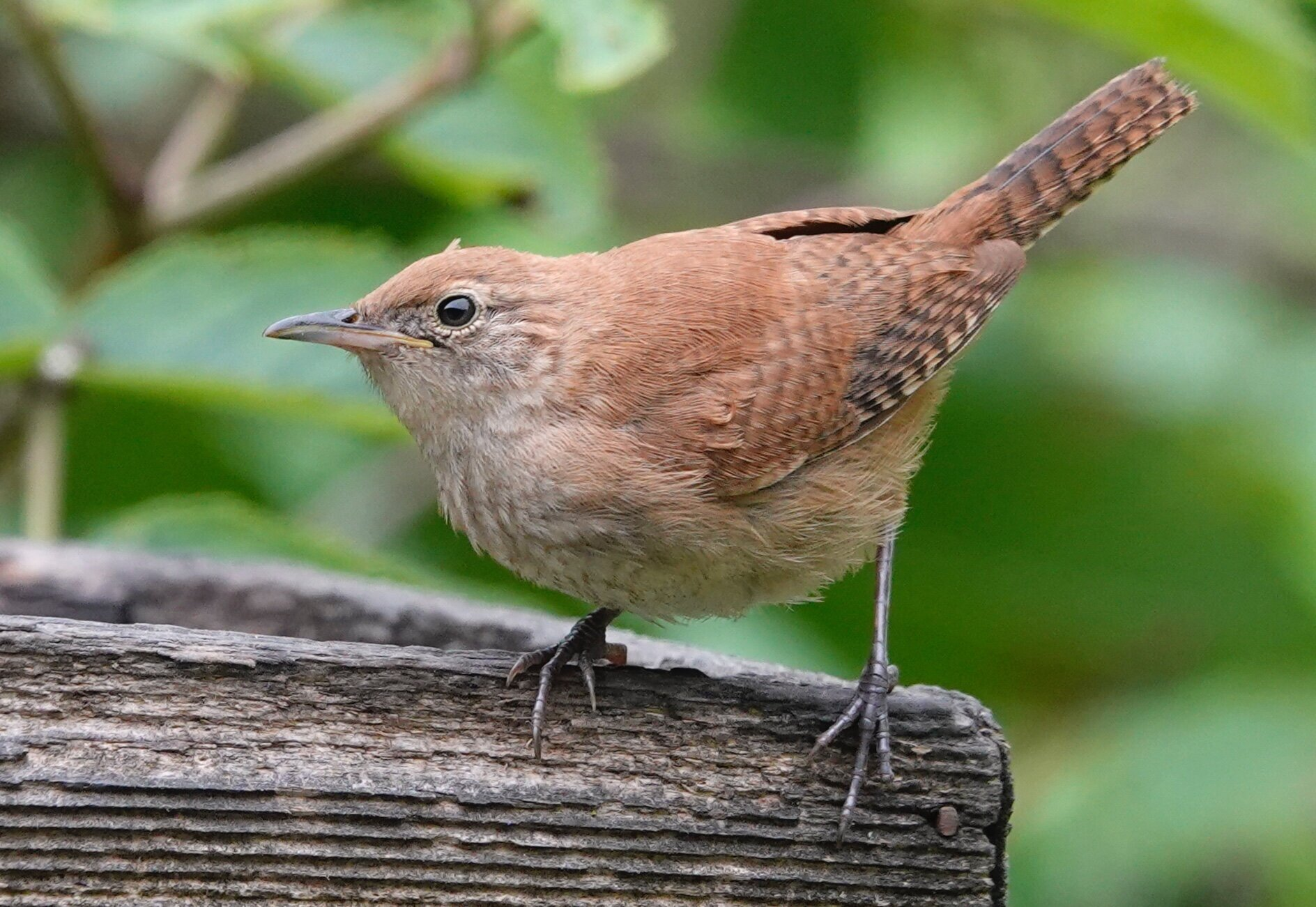 AL BATT/BLUFF COUNTRY READER A house wren weighs about the same as two quarters.