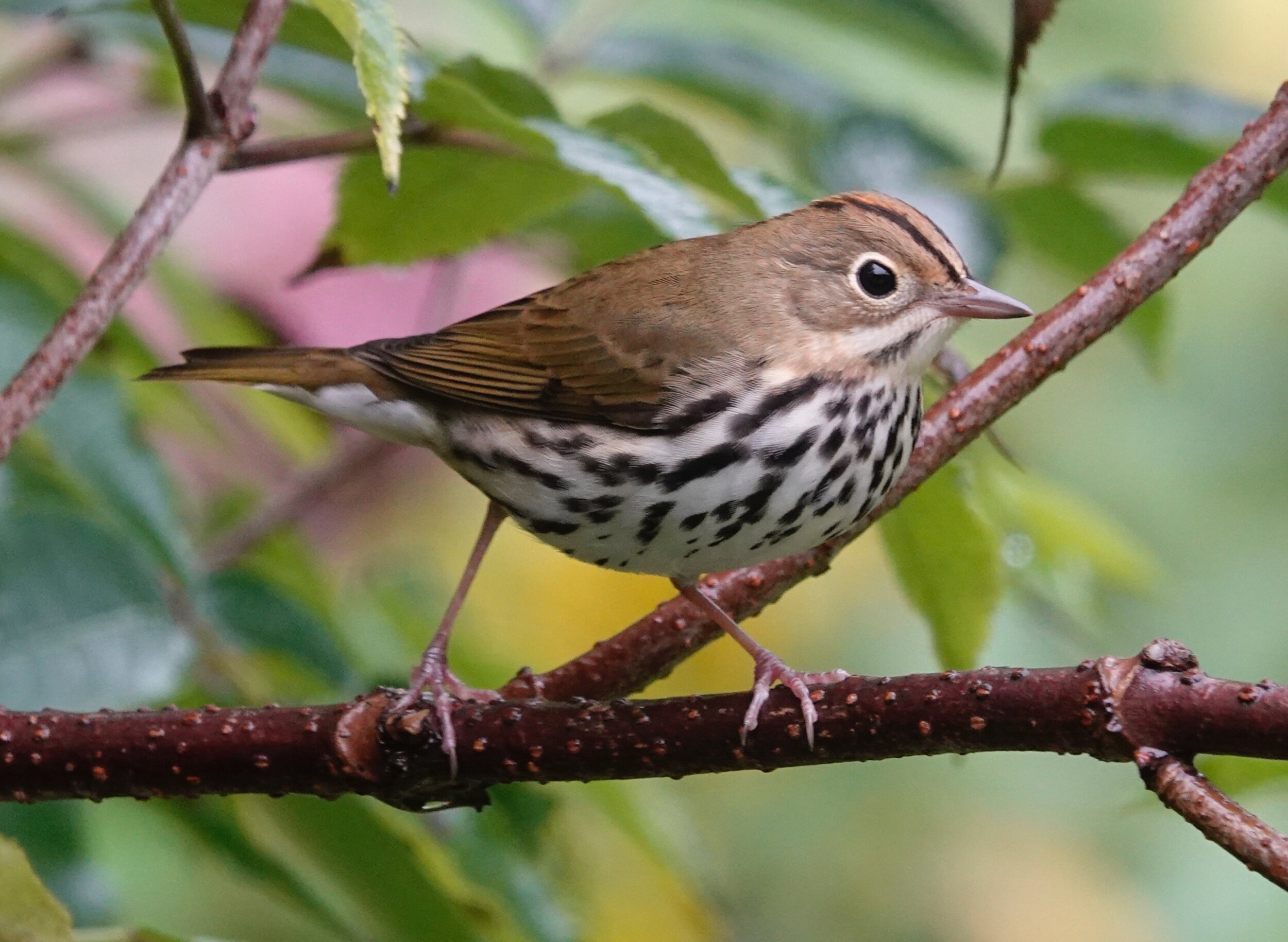 """AL BATT/BLUFF COUNTRY READER Does the ovenbird sing """"Teacher, teacher, teacher"""" or """"Nature, nature, nature""""? Either way, its nest resembles a Dutch oven."""