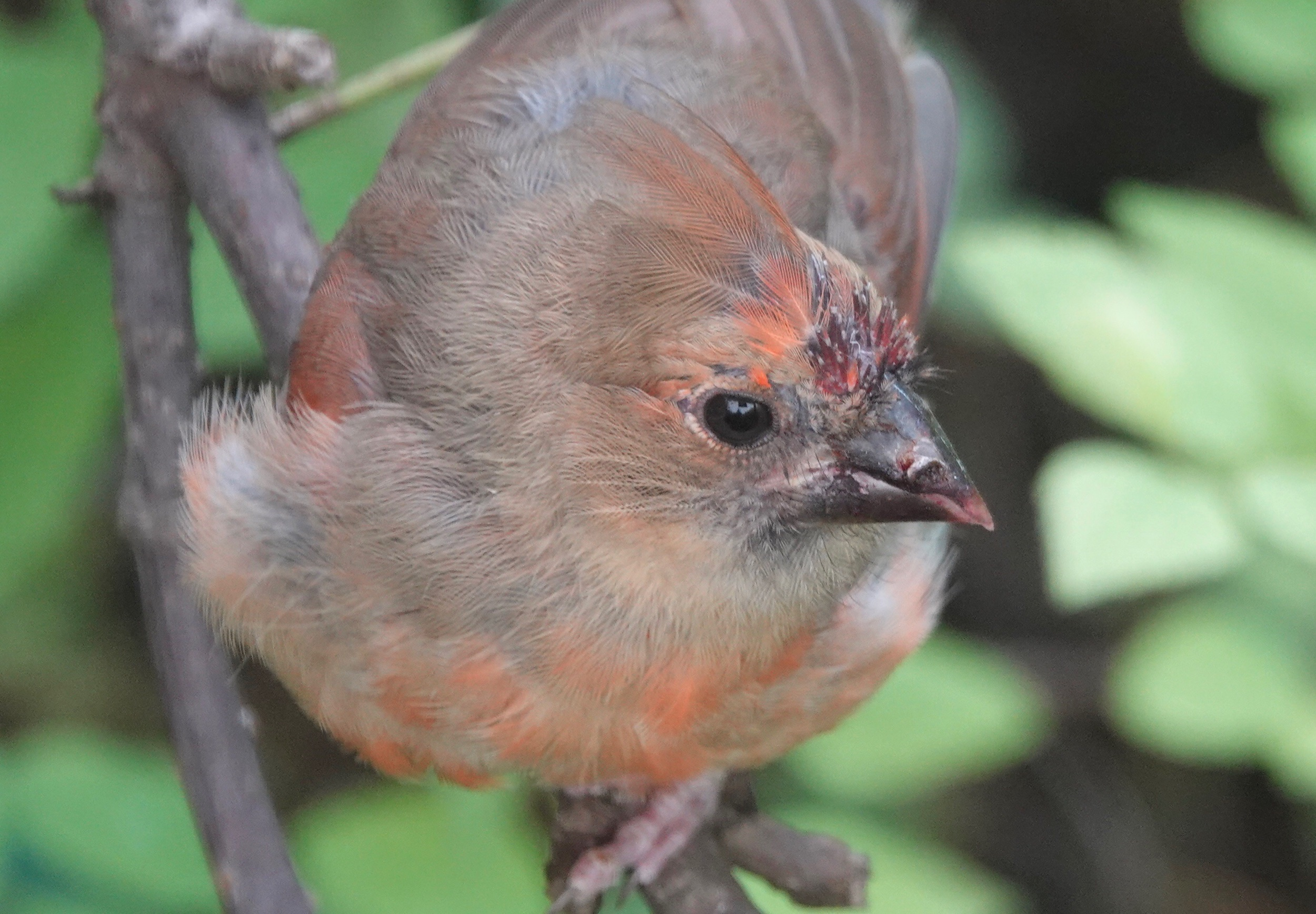 A young cardinal's bill is black.