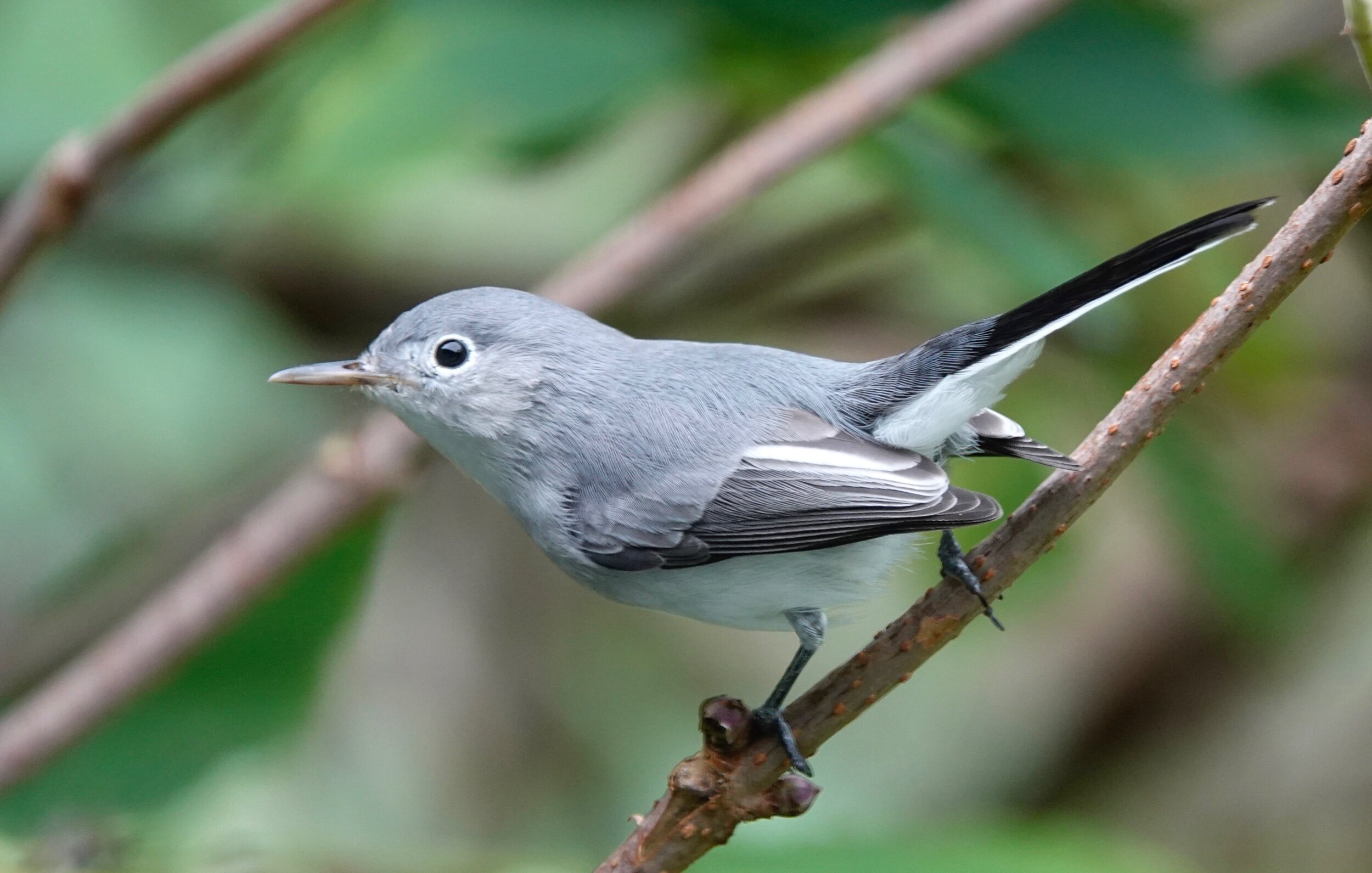 "AL BATT/BLUFF COUNTRY READER The blue-gray gnatcatcher is nicknamed the ""little mockingbird"" due to its appearance and its ability to mimic other birds."