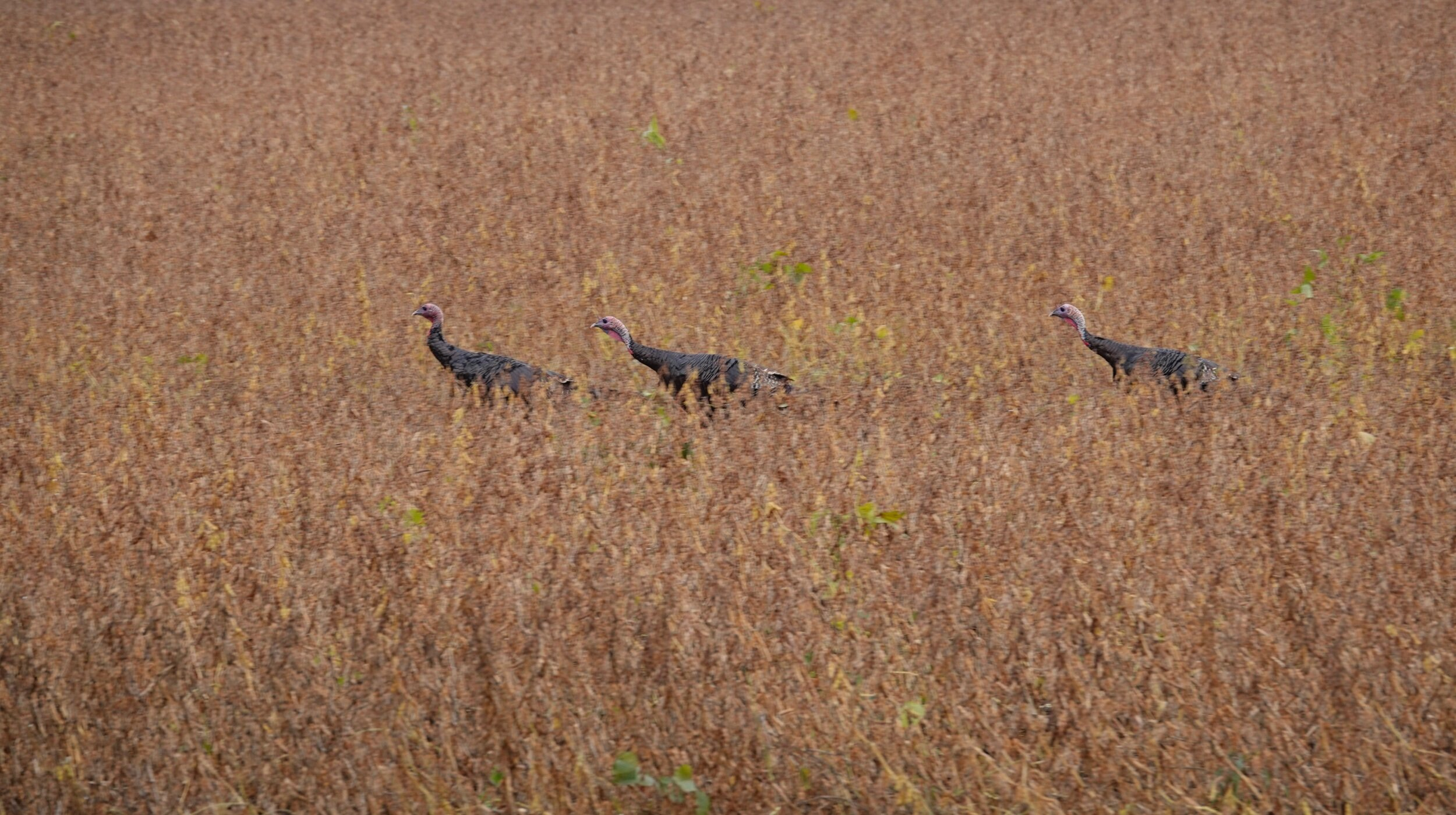 Children of the corn meet turkeys of the beans.