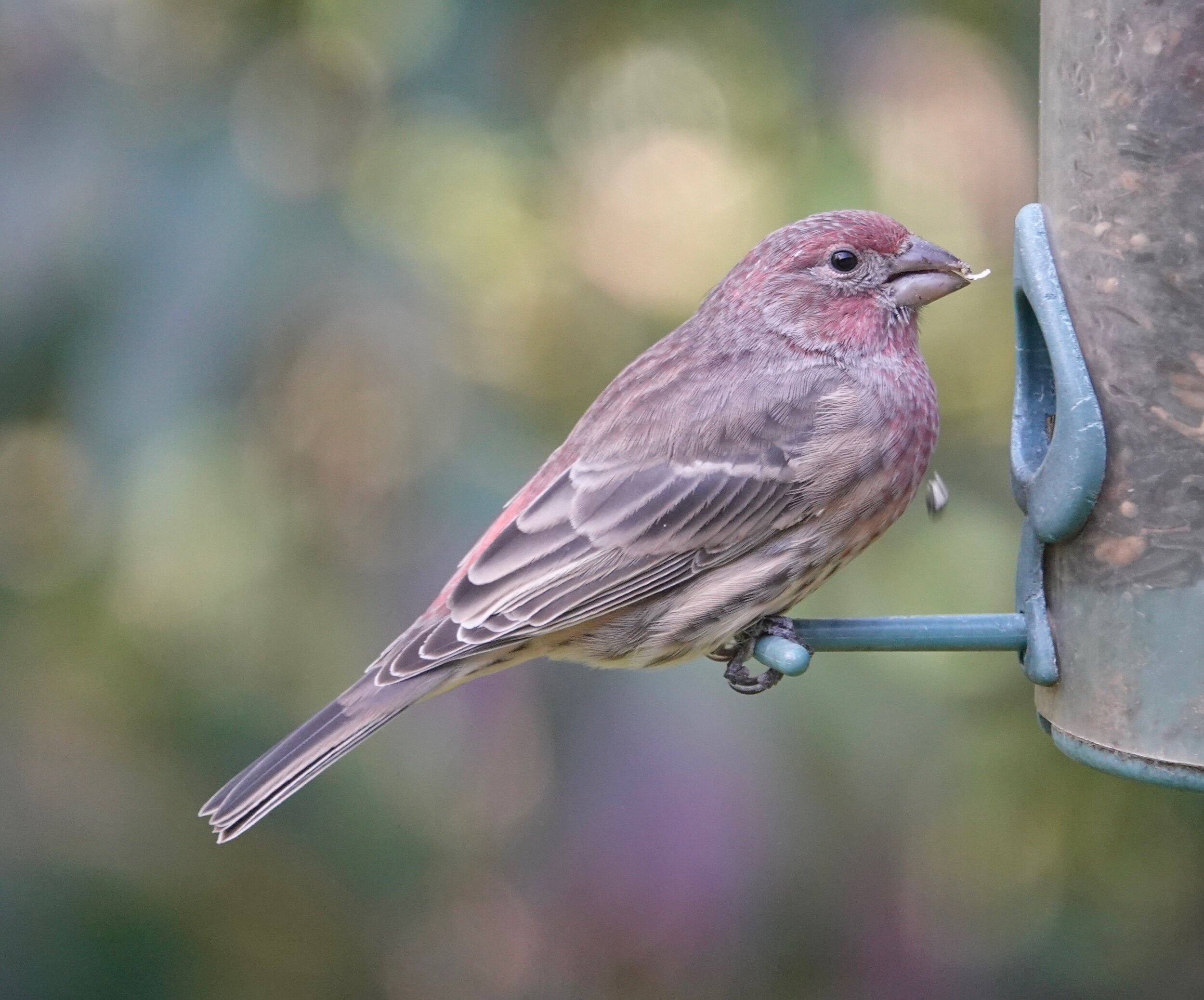 Maybe it's called a house finch because I can watch it from my house. Probably not.