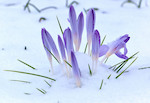 Crocuses in the Snow.jpg