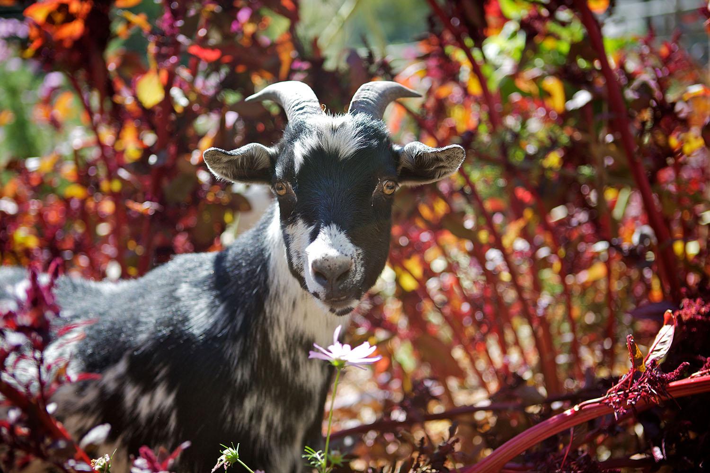 Gimli is a gorgeous goat