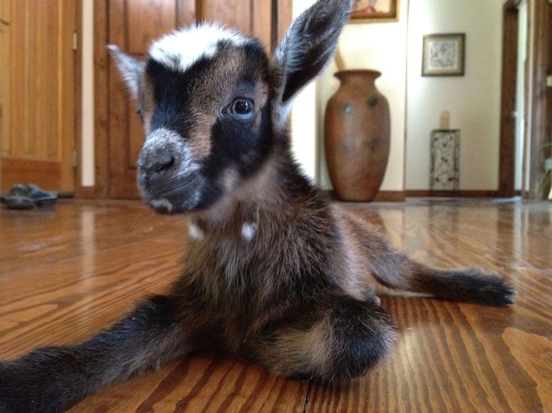 goat-in-house-lyons-farmette.jpg