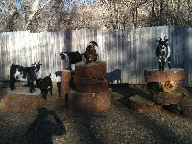 goats-on-logs-lyons-farmette.jpg