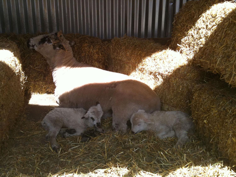 newborn-goats-lyons-farmette.jpg