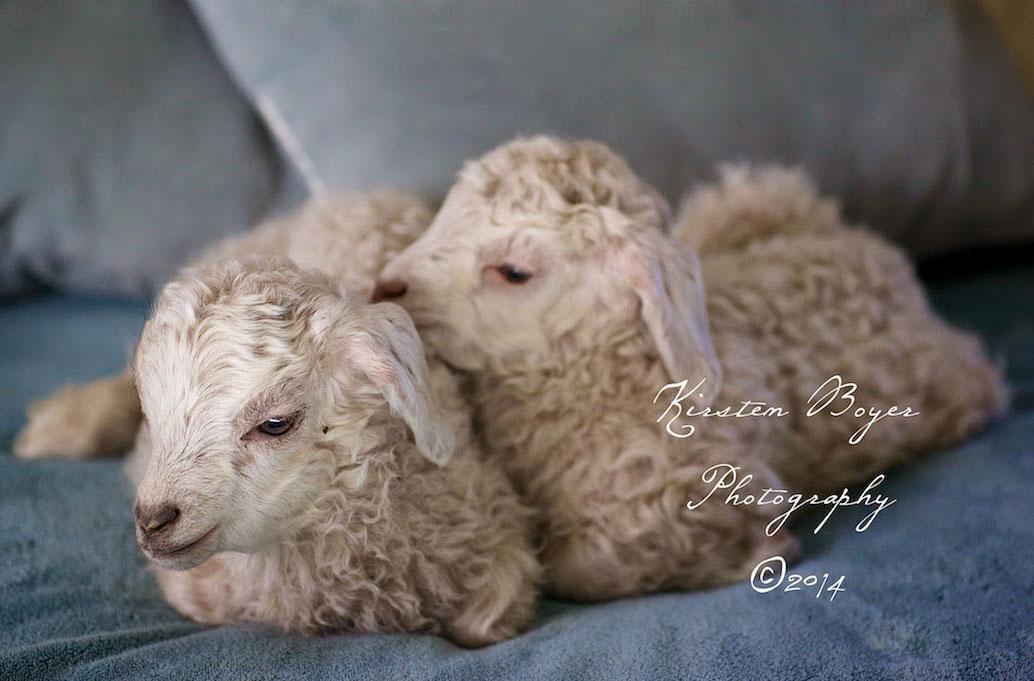 goats-in-bed-lyons-farmette.jpg